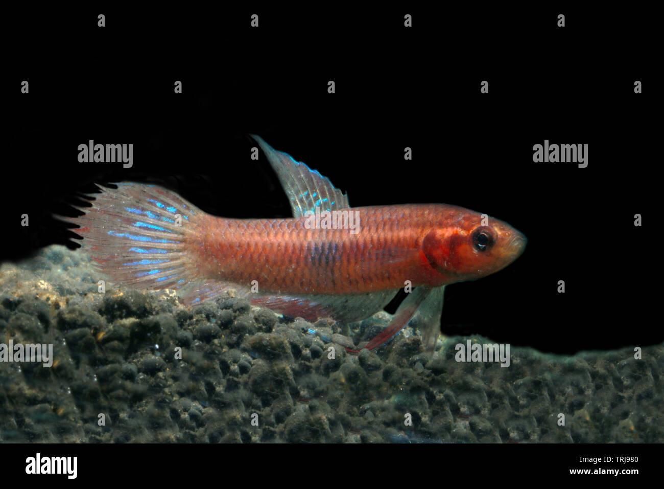 Betta Livida, jealous betta - Stock Image