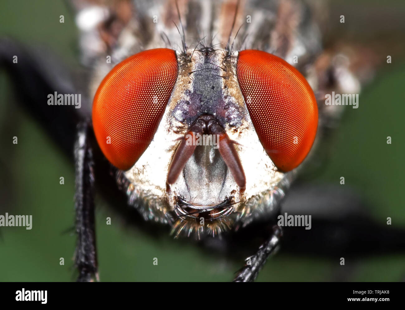 Macro Photography of Head of Housefly on Green Leaf - Stock Image