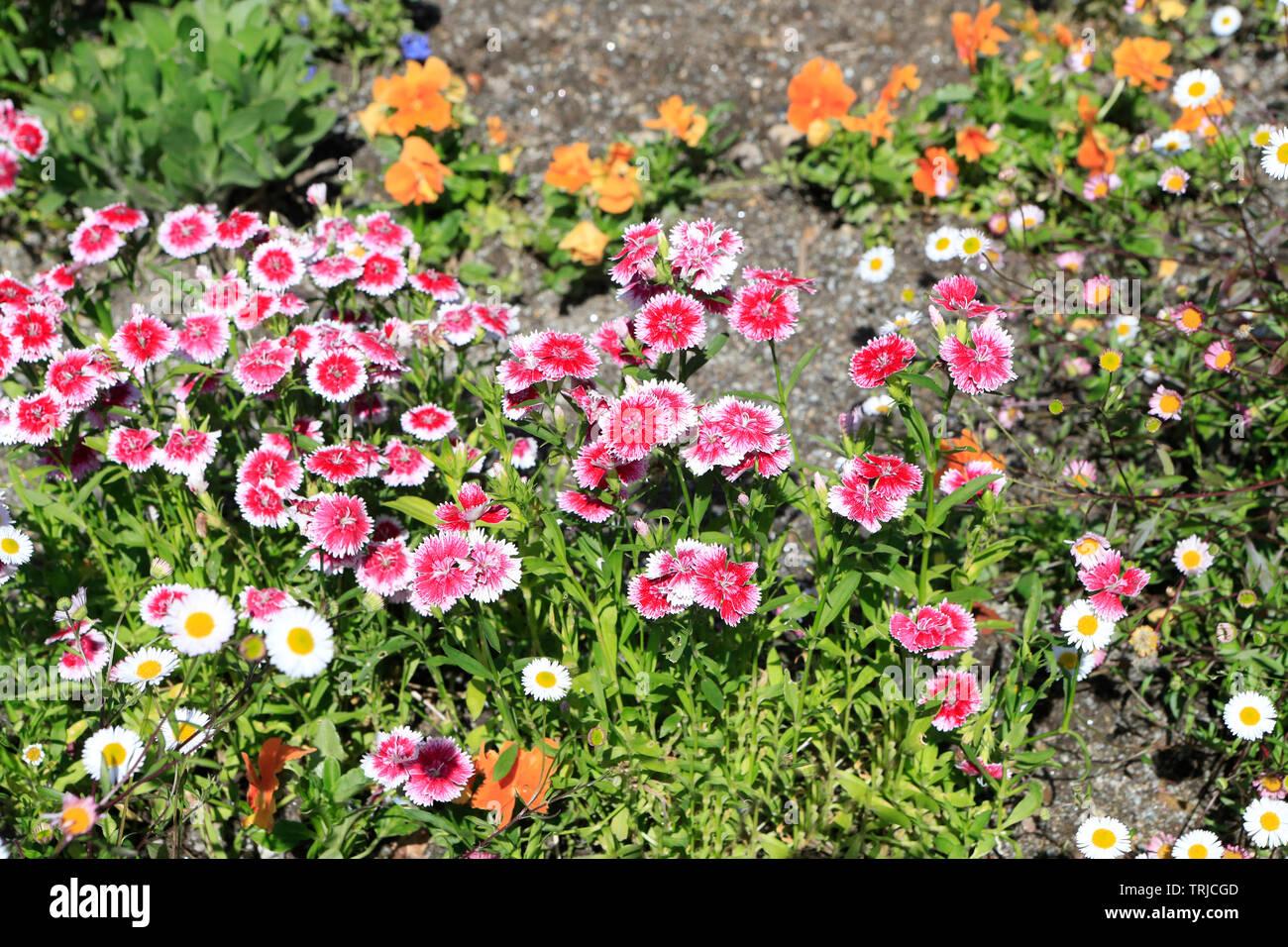 Dianthus barbatus. Sweet William. Flowers - Stock Image
