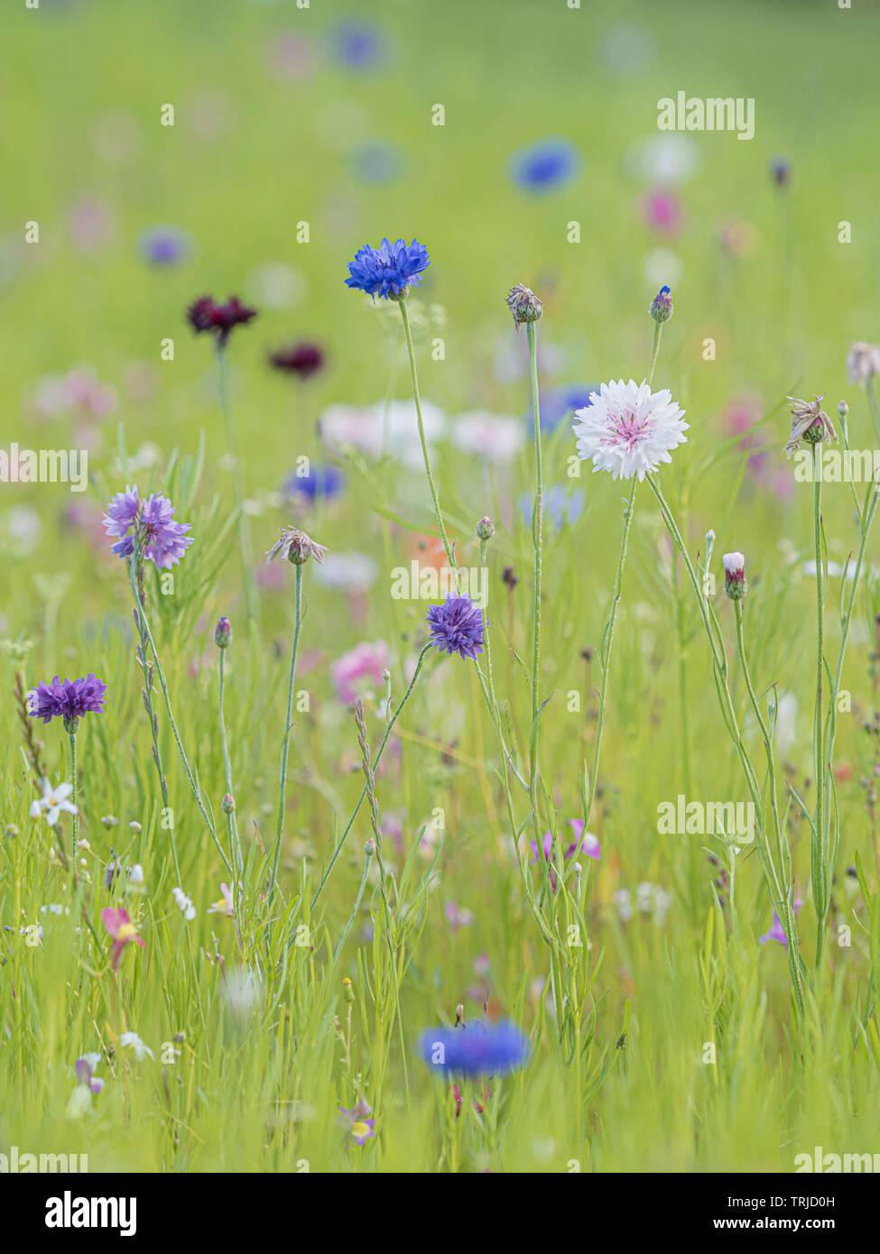 Cornflowers in wild flower meadow Stock Photo