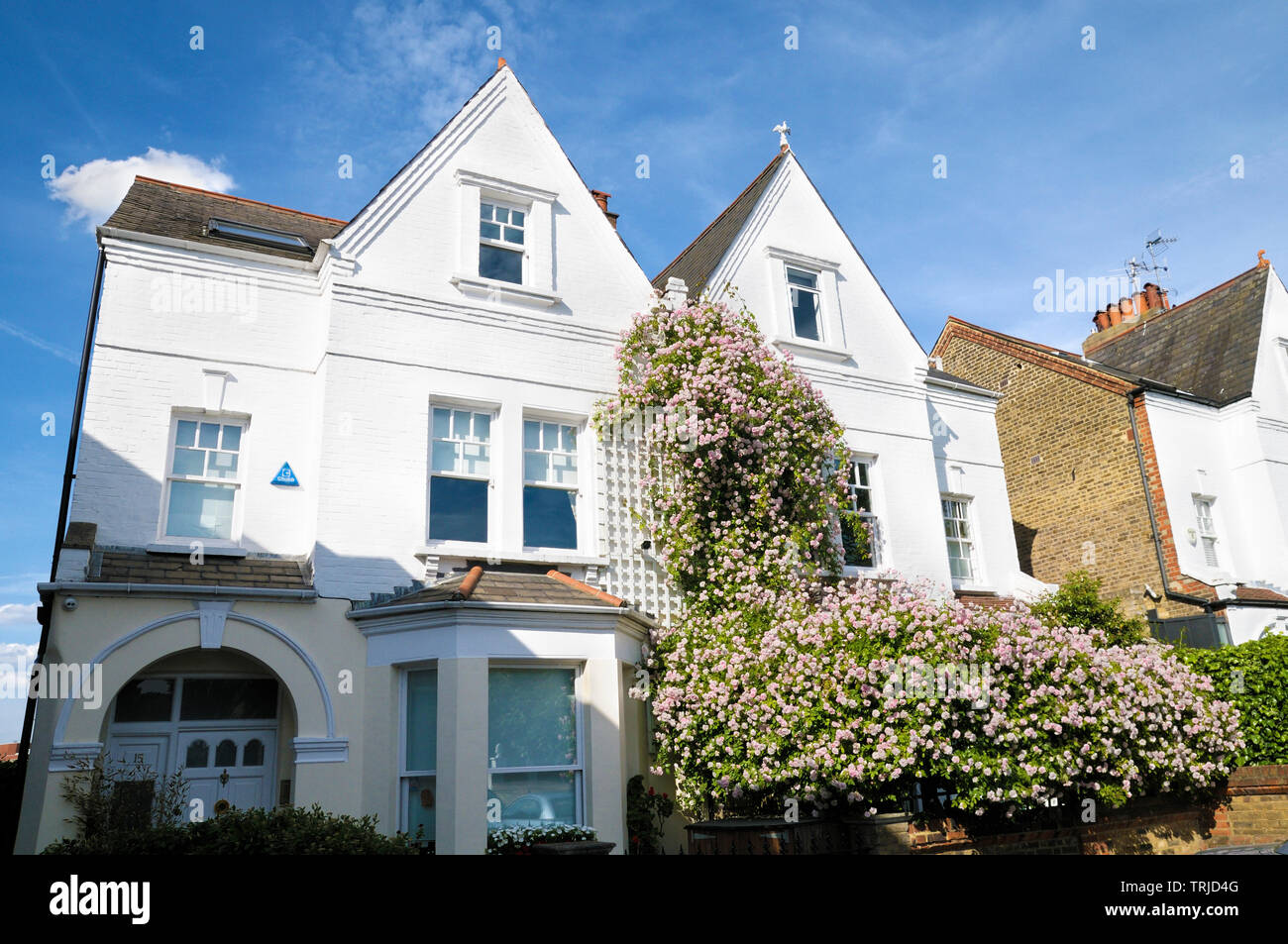 A period semi-detached house with a beautiful cascade of pink roses, London, England, UK Stock Photo
