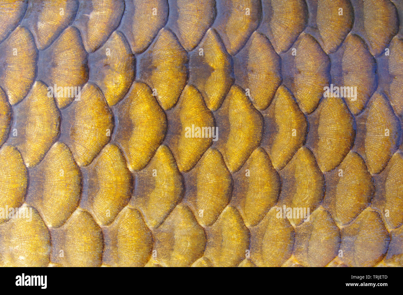 Gold carp scales background. Close-up on carp scales - Stock Image