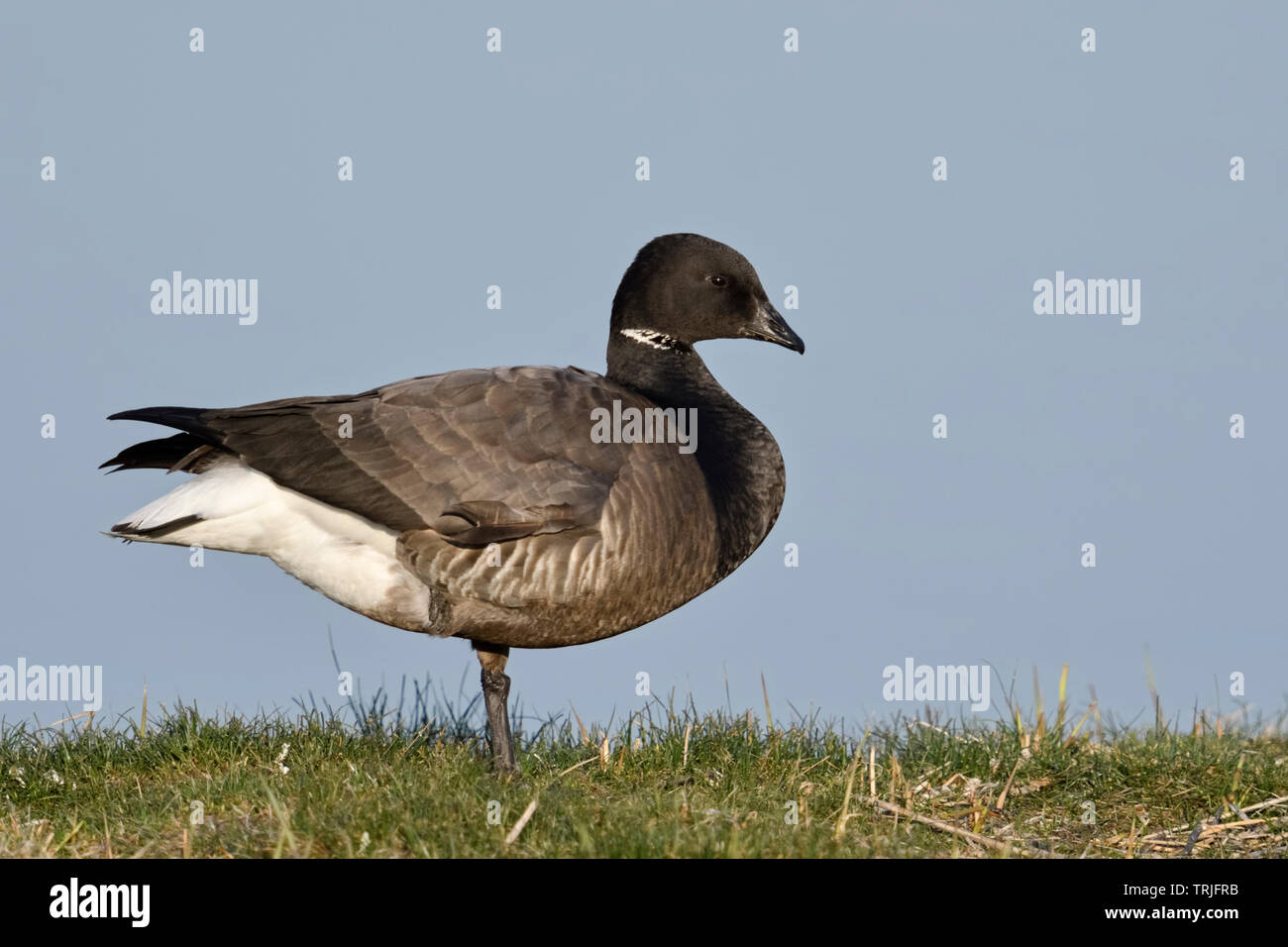 Brent Goose / Ringelgans ( Branta bernicla ), adult, nice and detailed side view, wildlife, Netherlands, Europe. - Stock Image