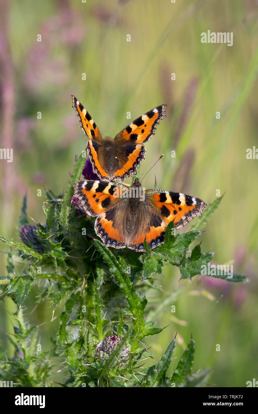 Detailed, portrait close up of a pair of Small Tortoiseshell butterflies (Aglais urticae) together in outdoor UK countryside habitat, on thistle plant. Stock Photo