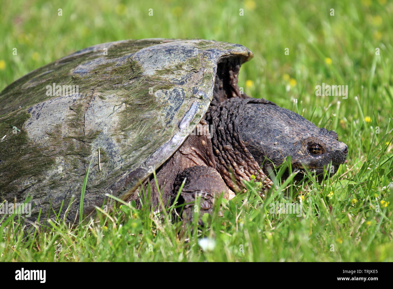 Close up, side view, of the head and shell of a large Common Snapping Turtle laying in the grass in Trevor, Wisconsin, USA, in the spring Stock Photo