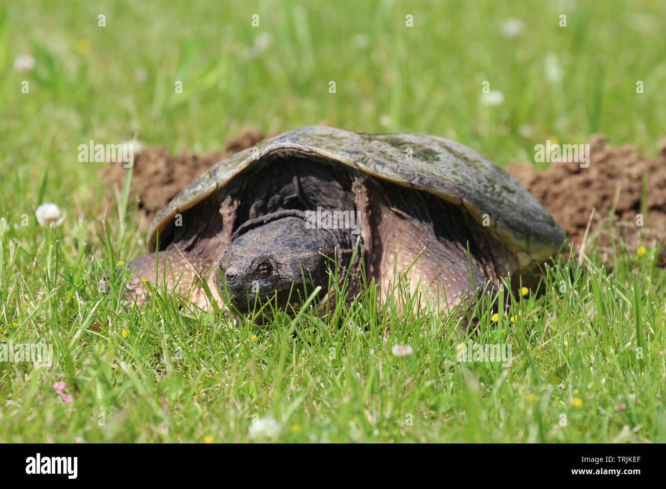 Close up, front view, of the head and shell of a large Common Snapping Turtle laying in the grass in Trevor, Wisconsin, USA, in the spring using a sof Stock Photo
