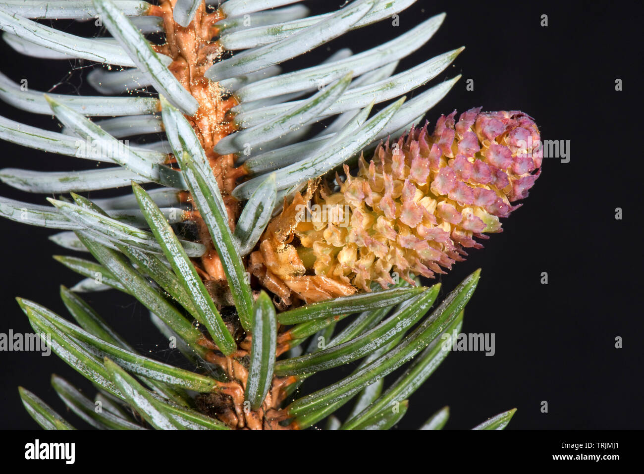 A male pollen cone on a blue spruce, Picea pungens 'Glauca', an ornamental garden tree with rigid sharply pointed needles, April - Stock Image