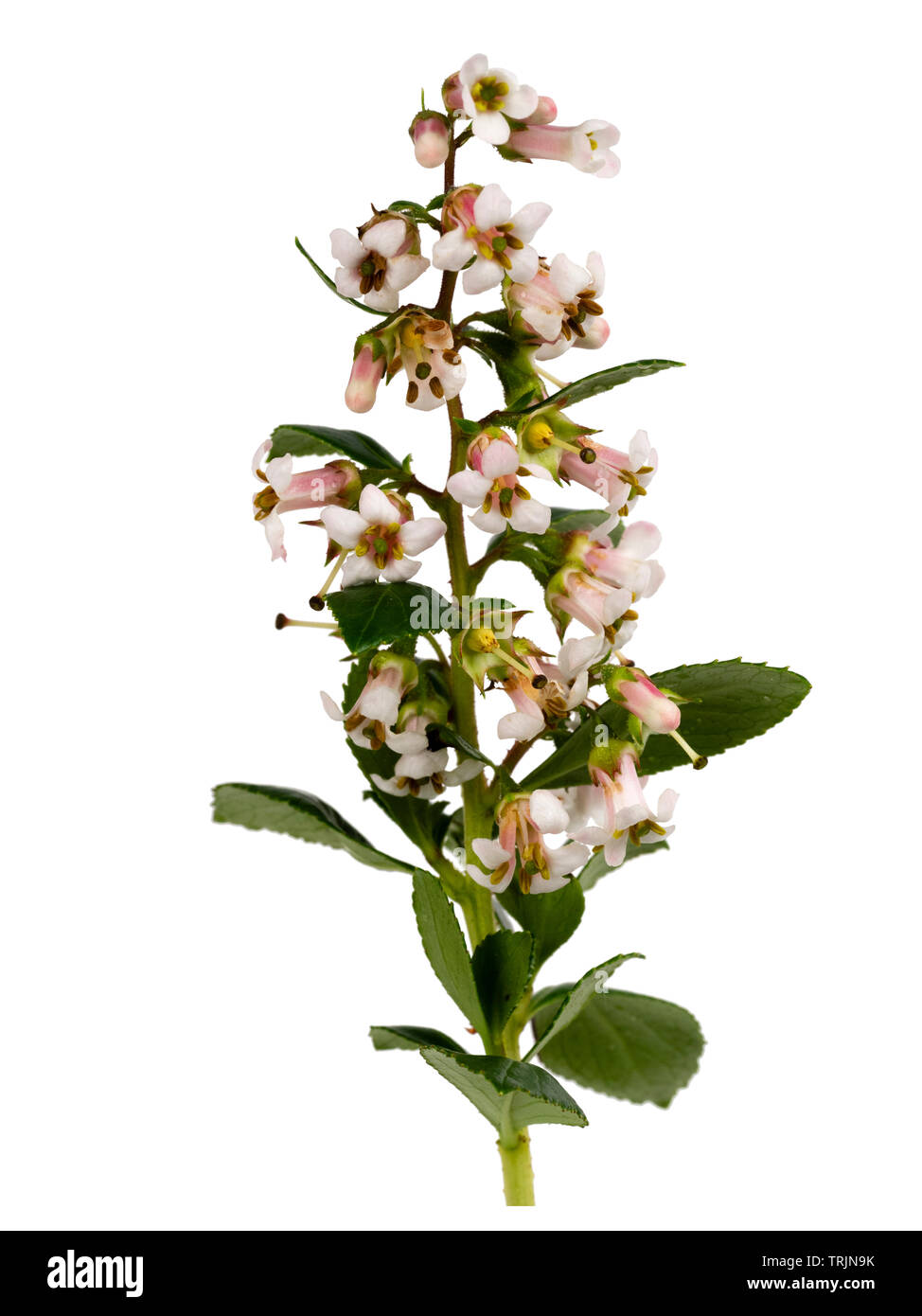 Summer panicle of the pale pink and white flowered evergreen hedging shrub, Escallonia 'Apple Blossom' on a white background - Stock Image