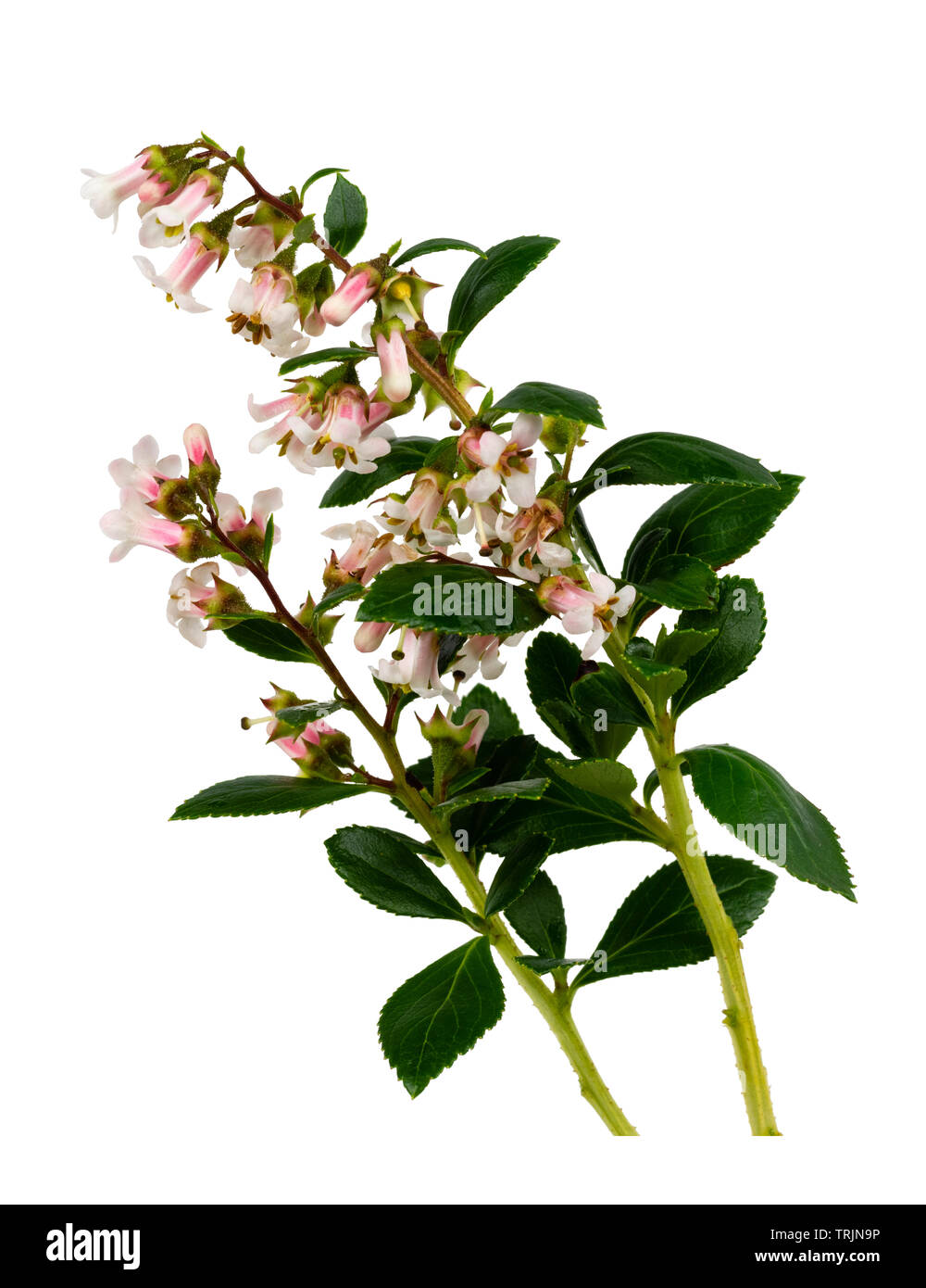 Summer panicles of the pale pink and white flowered evergreen hedging shrub, Escallonia 'Apple Blossom' on a white background - Stock Image