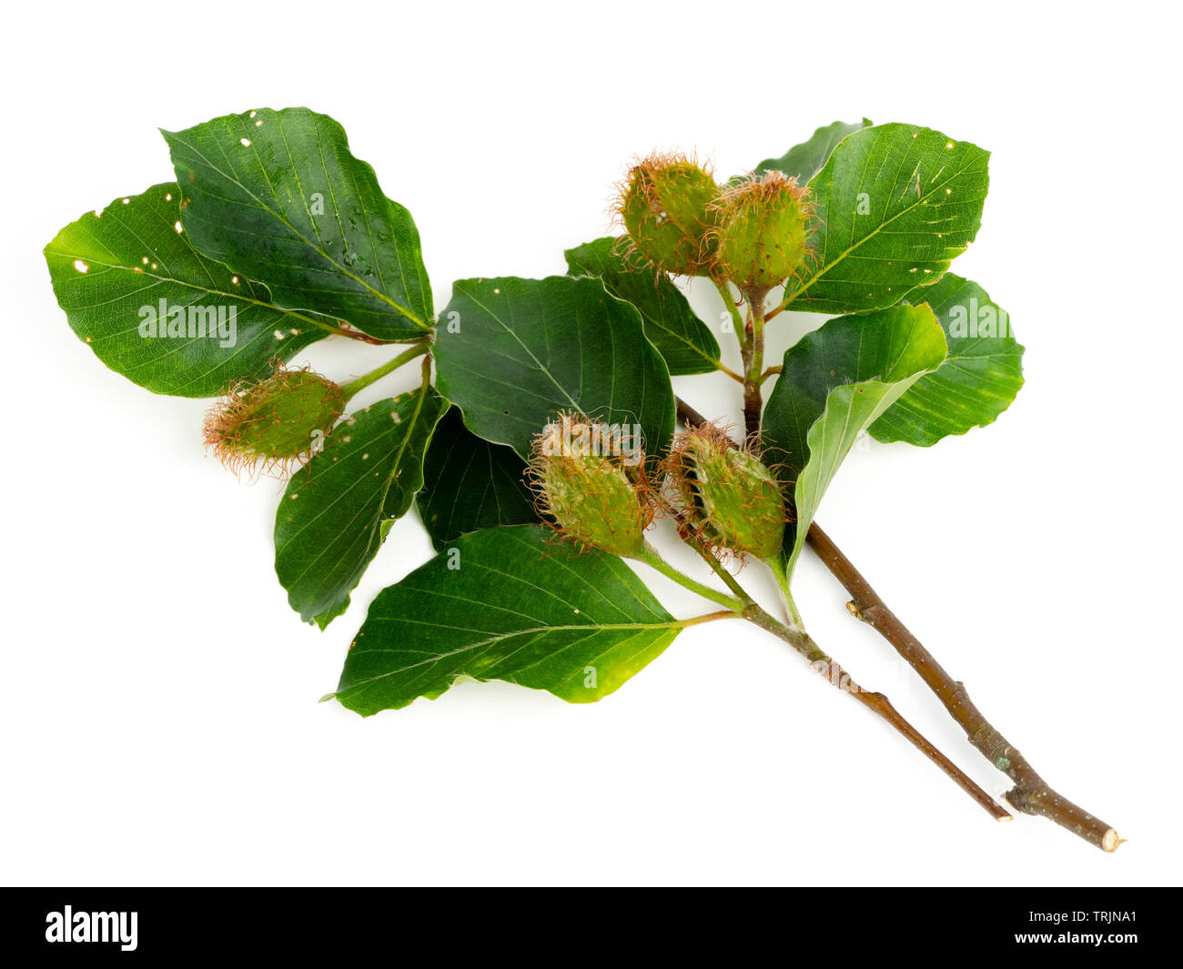 Summer foliage and developing hairy mast ofthe common beech, Fagus sylvatica, on a white background - Stock Image