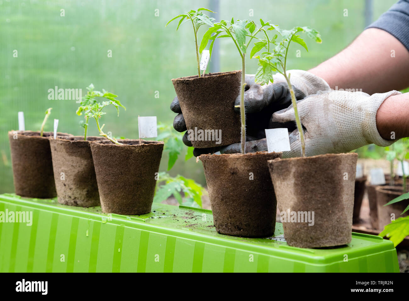 Male farmer holding organic pot with tomato plant before planting in into the soil. Man prepares to plant little tomato plant into ground Stock Photo