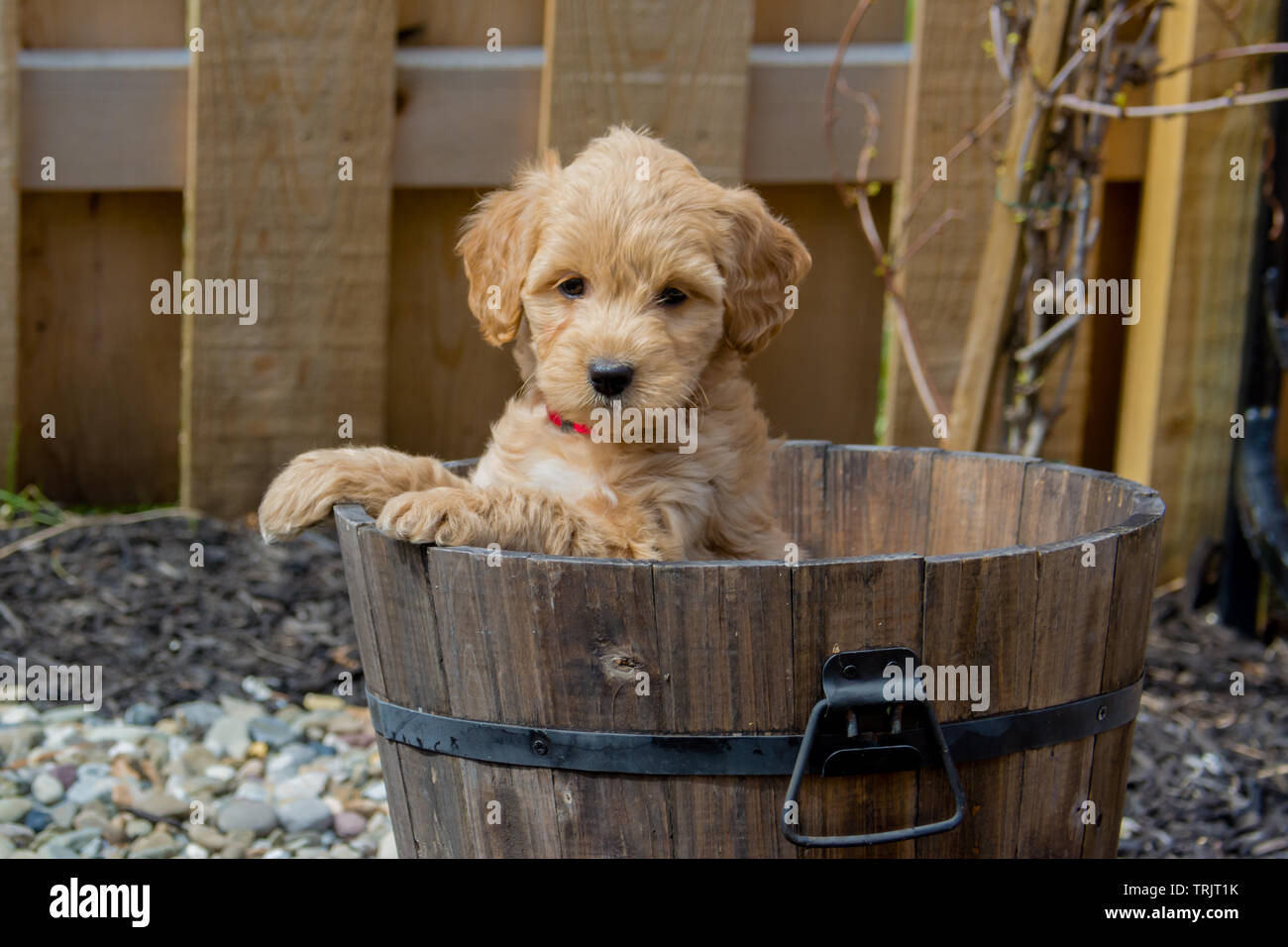 The F1b Mini Goldendoodle is produced by crossing a F1