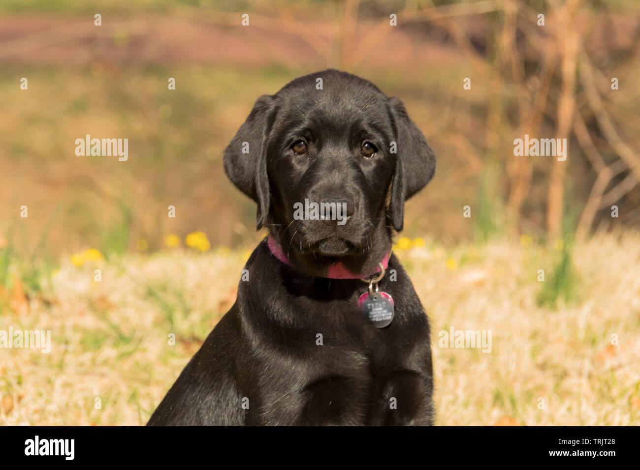 Black Labrador puppy. With his family-friendly reputation and incredible loyalty, it has made a popular family companion pet for years. - Stock Image
