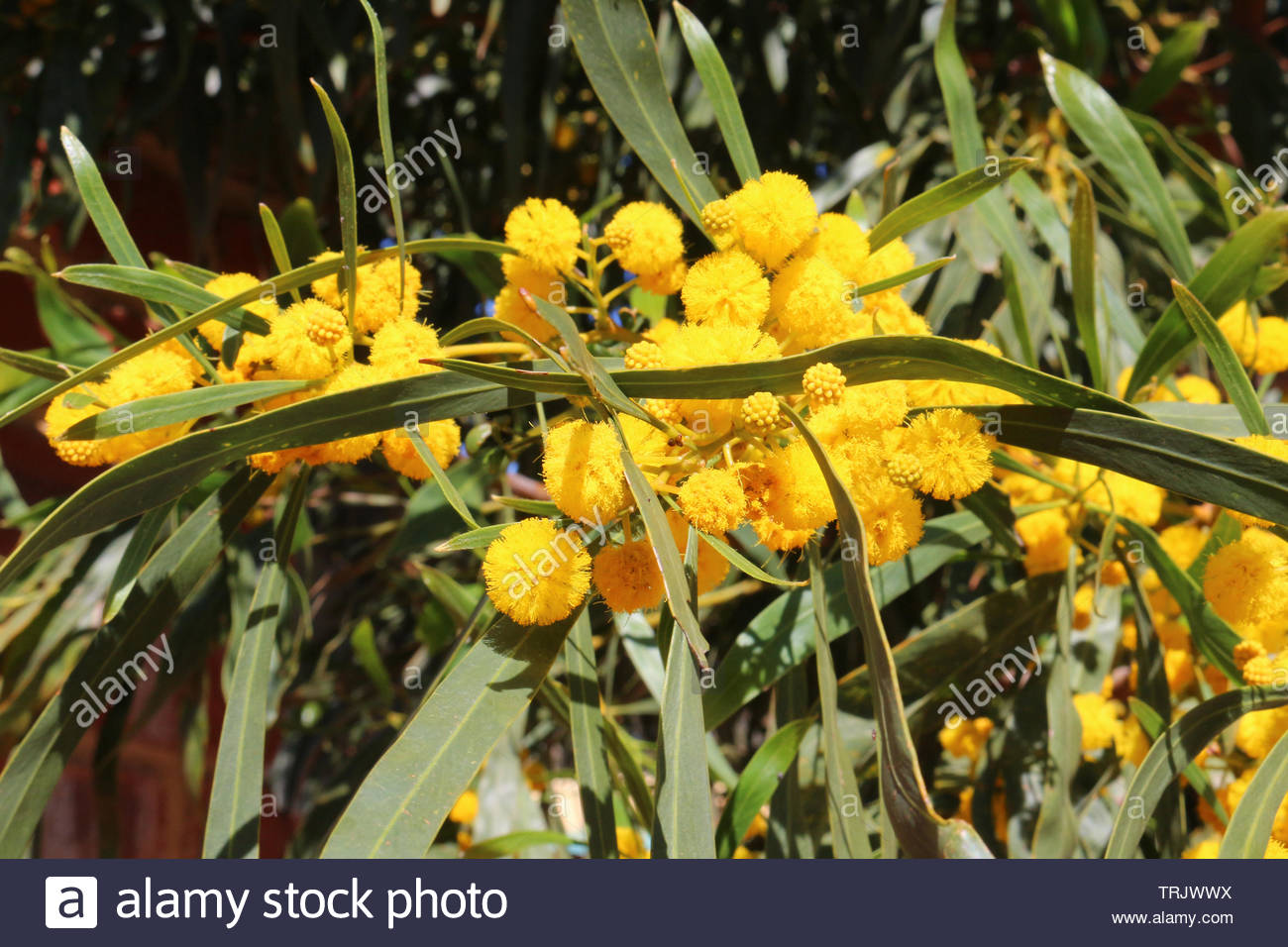 Acacia Flower Stock Photos Acacia Flower Stock Images Alamy
