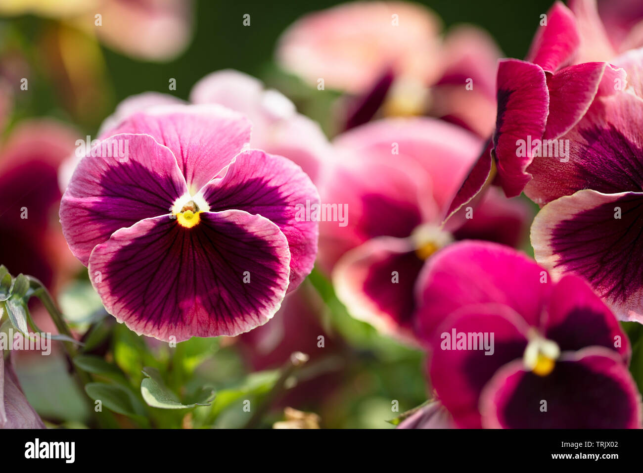 Close up of bright magenta pansy with deep purple blotch and yellow center Stock Photo