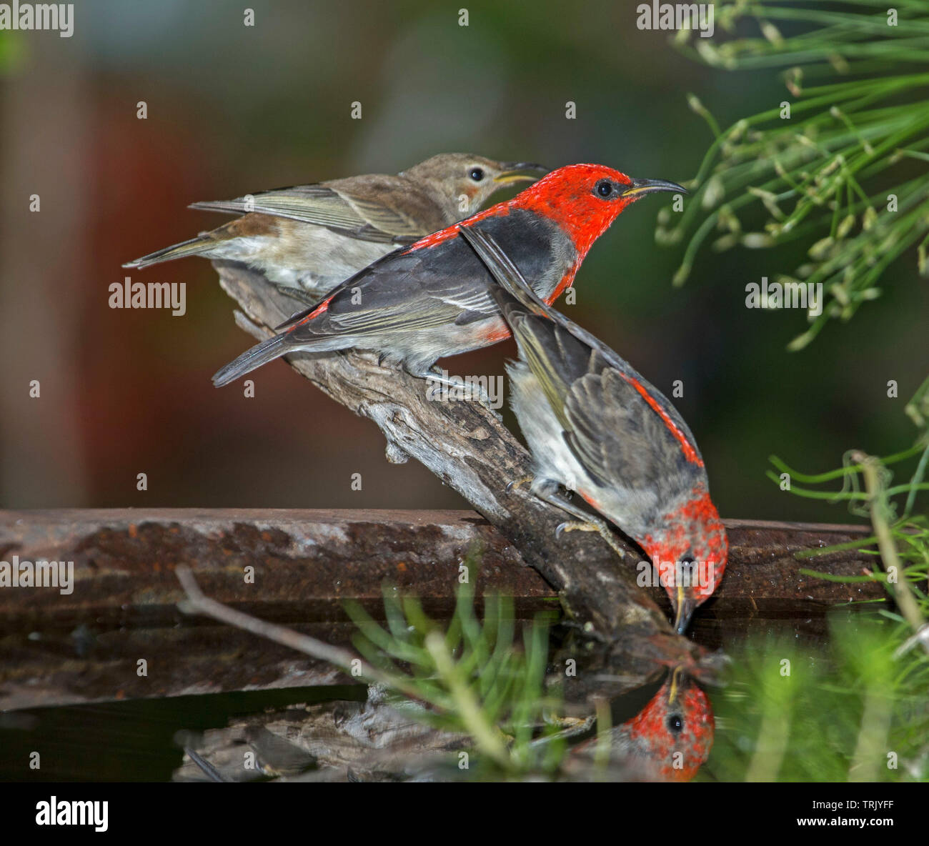 Family of spectacular Australian Scarlet Honeyeaters, Myzomela sanguinolenta, at garden bird bath, with one drinking and reflected in water - Stock Image