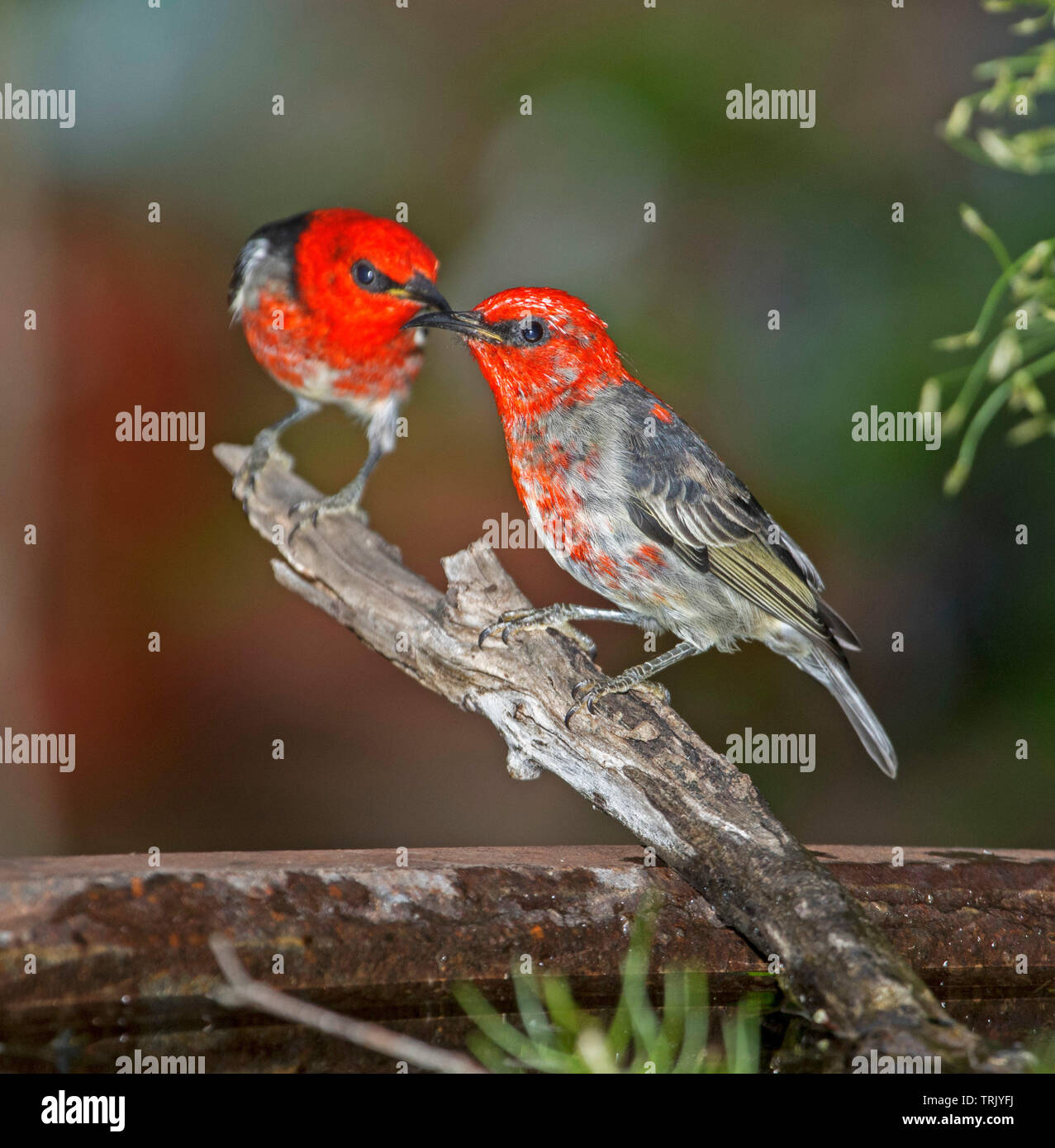 Two spectacular red and black male Australian Scarlet Honeyeaters, Myzomela sanguinolenta, at garden bird bath - Stock Image