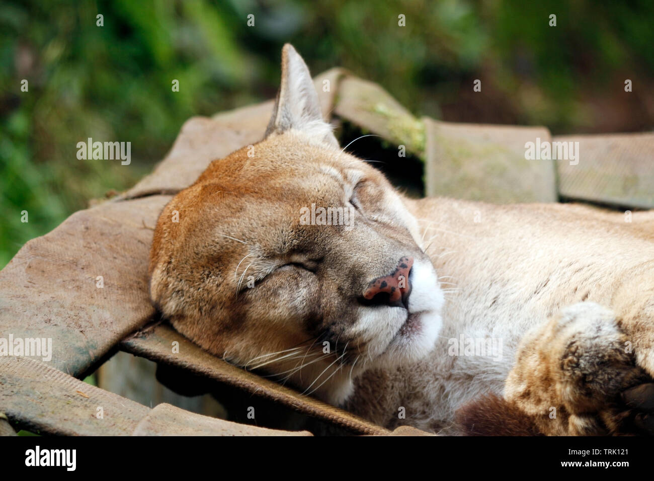 The sleep of the brown jaguar - There are three colorations for the jaguar and the three are present in the Amazon. Brazil - Stock Image