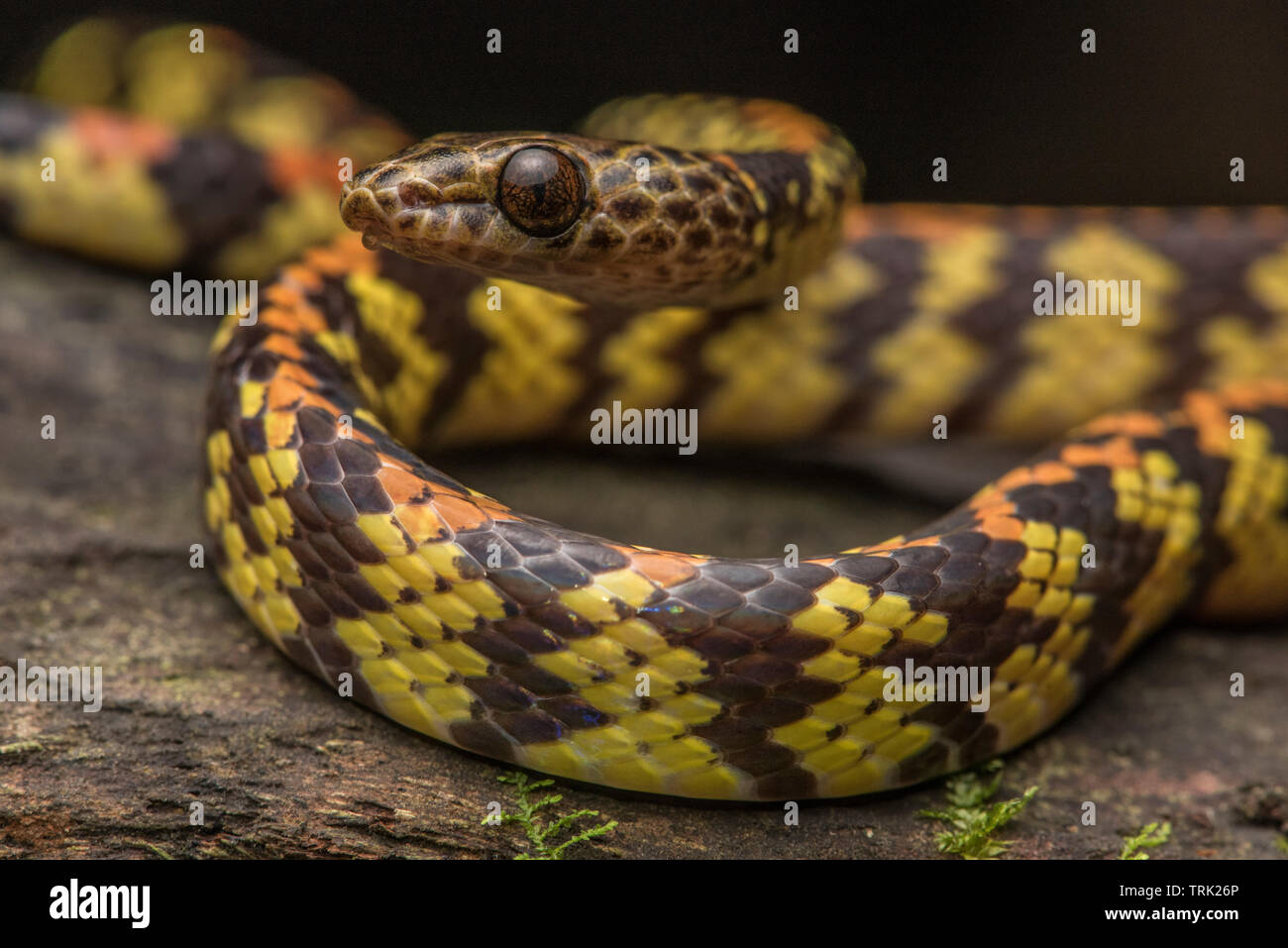 A panama spotted night snake (Siphlophis cervinus) it is harmless and feeds mainly on lizards. - Stock Image