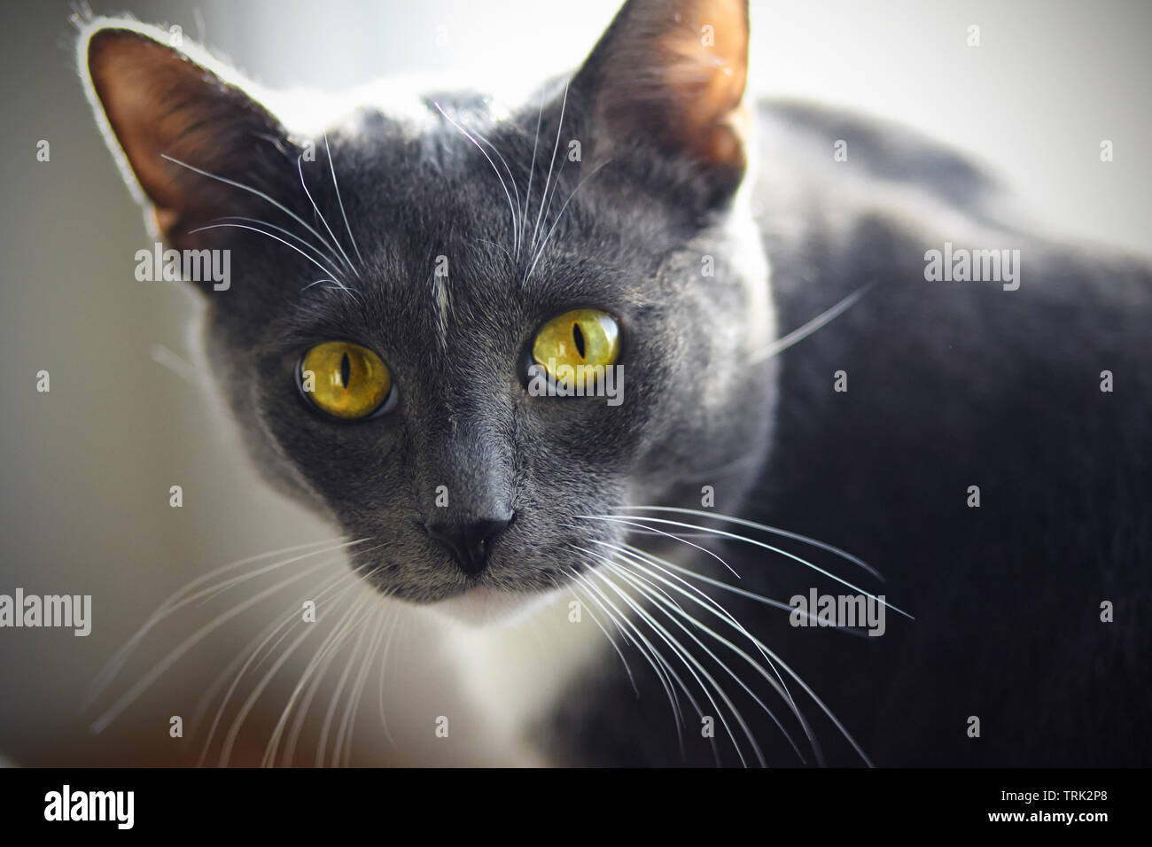 A beautiful home cat of gray color with a white spot on the forehead and yellow-green eyes looks expressively Stock Photo