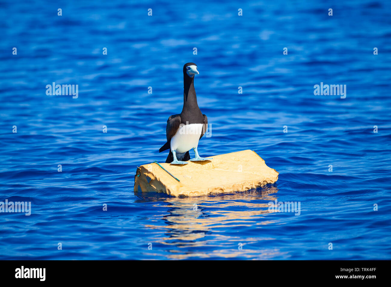 A blue footed booby, Sula nebouxii excisa, standing on a piece of discarded floating plastic off Hawaii. - Stock Image