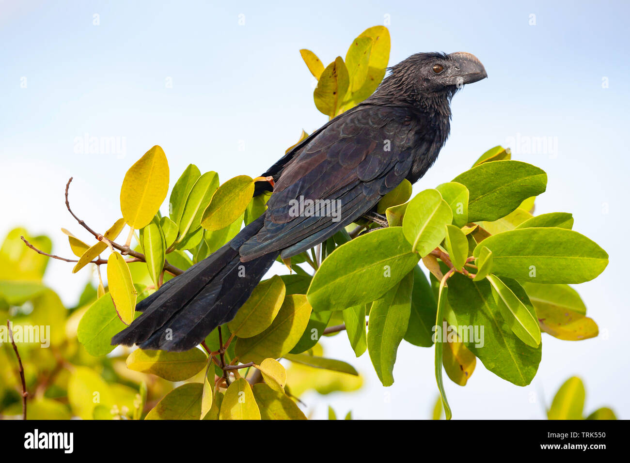 The smooth-billed Ani, Crotophaga ani, was brought to Santa Cruz Island, Galapagos from mainland Ecuador by farmers to alleviate tick problems on thei - Stock Image