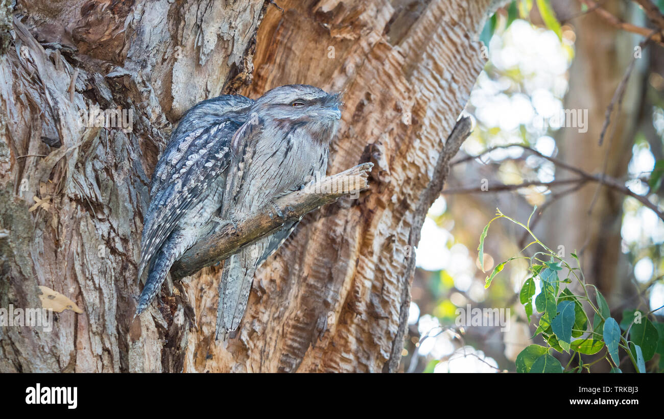 The Tawny Frogmouth (Podargus strigoides) is an Australian species of frogmouth, an iconic type of bird found throughout the Australian mainland, Tasm Stock Photo