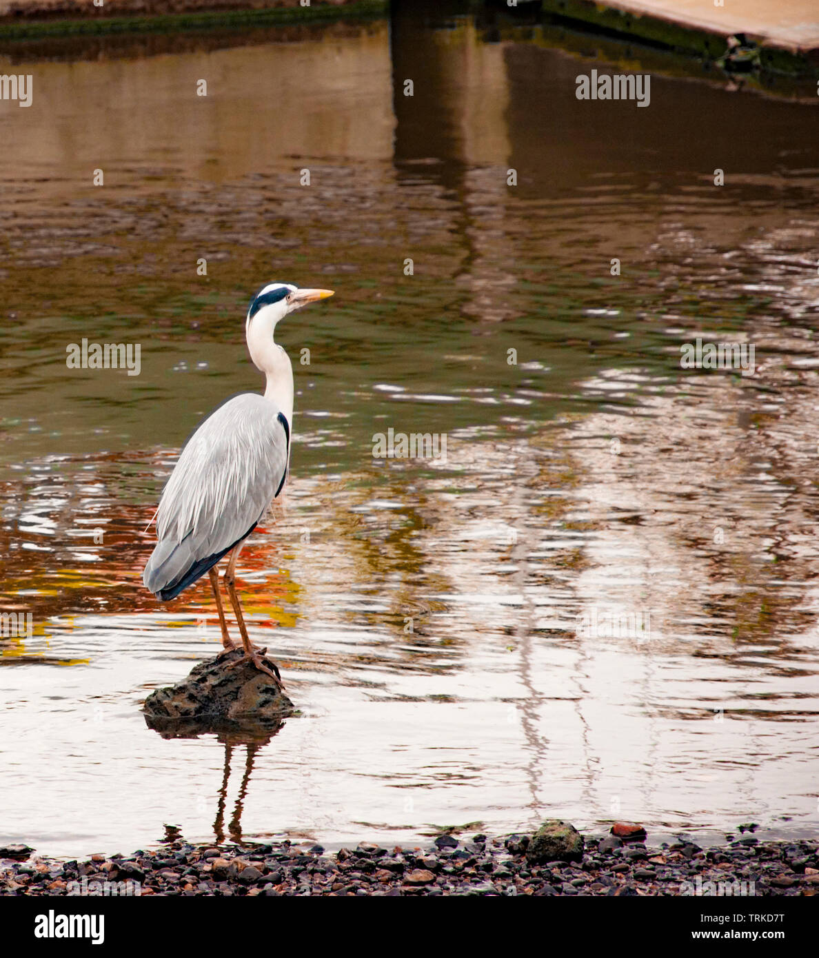 Heron  on the River thames, London - Stock Image