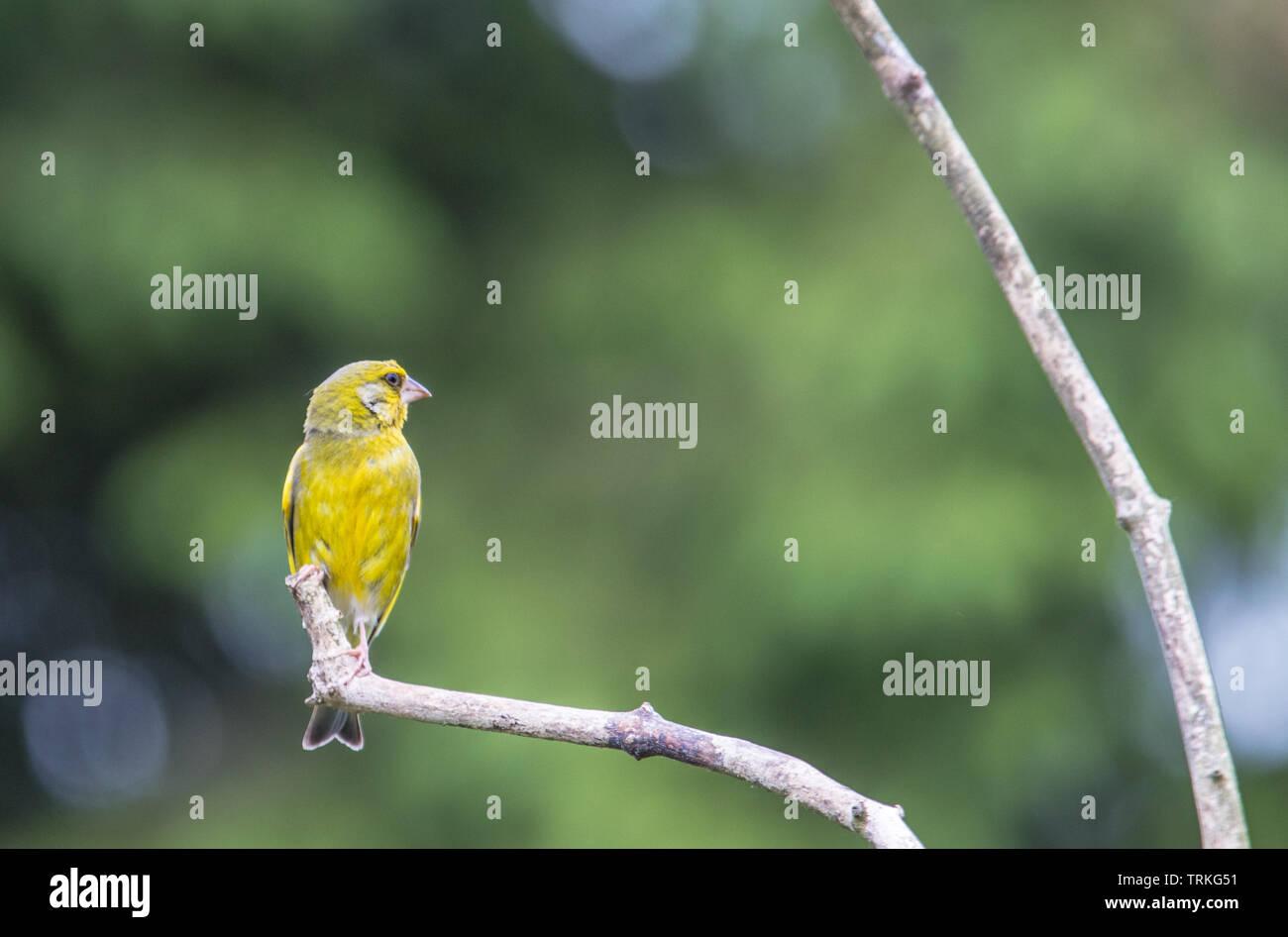 Greenfinch, British Bird, Wildlife enjoying the sunshine on a perch in a British Garden. - Stock Image