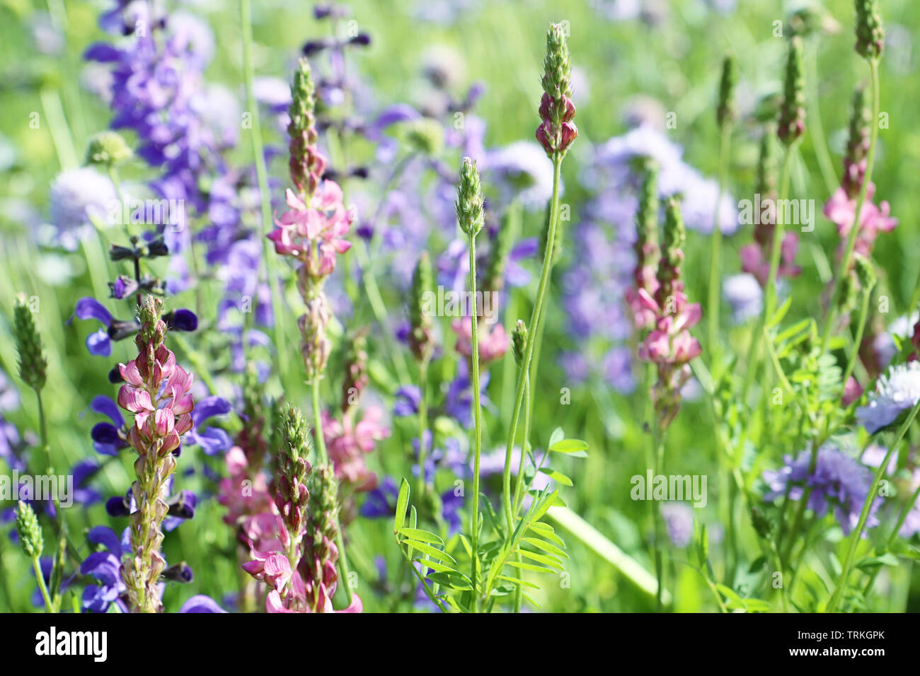 Close up of spontaneous spring pink and violet wild lupine flowers of a colorful rural field in full bloom. Nature background, soft focus and blur Stock Photo