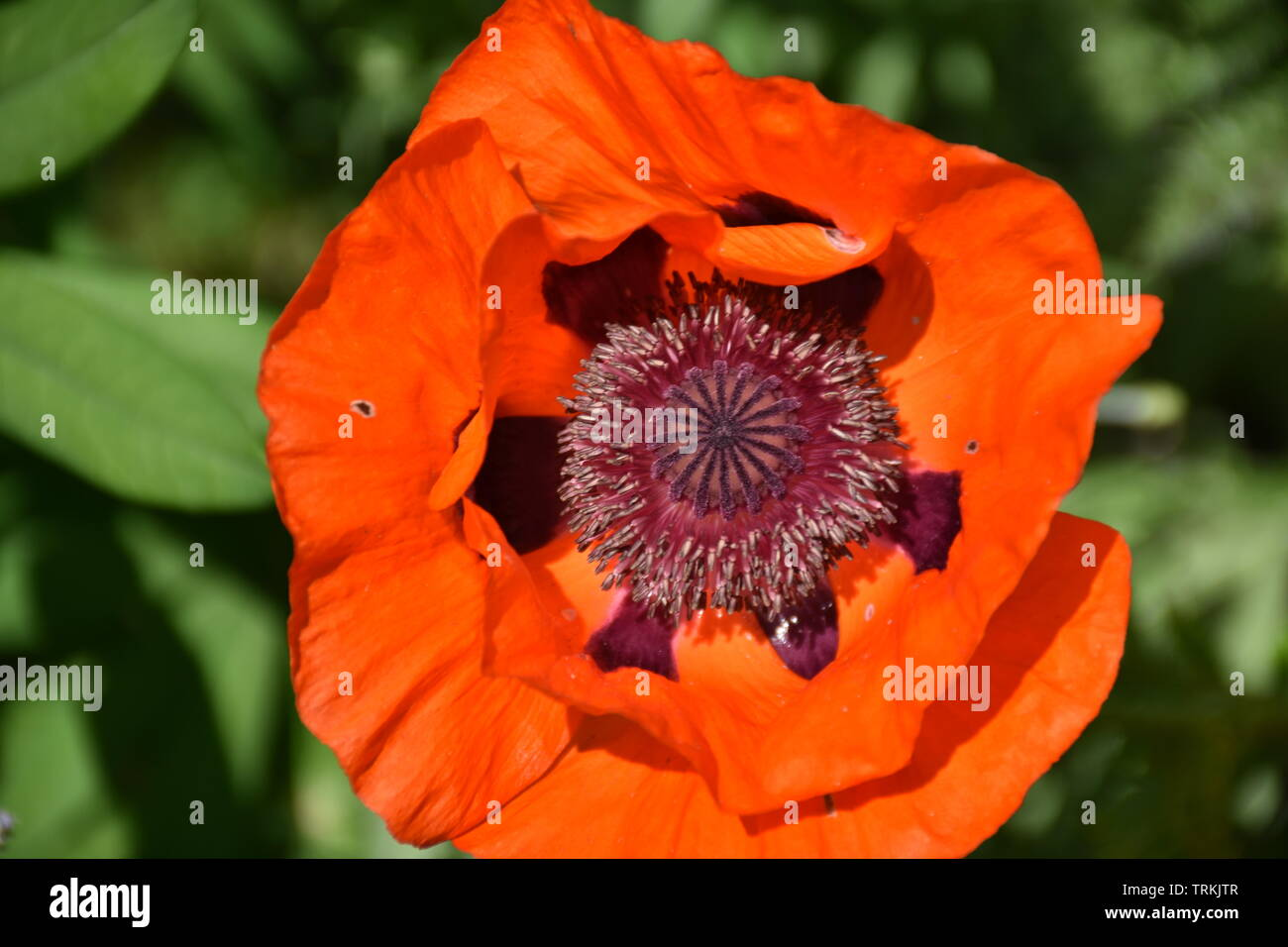 Klatschmohn, Papaver rhoeas, Mohnblume, Klatschrose, Mohn, Kapsel, Blüte, Sommer, blühen, Blume, aufblühen, verblühen, Blütenblatt, rot, Sommer, Jahre - Stock Image