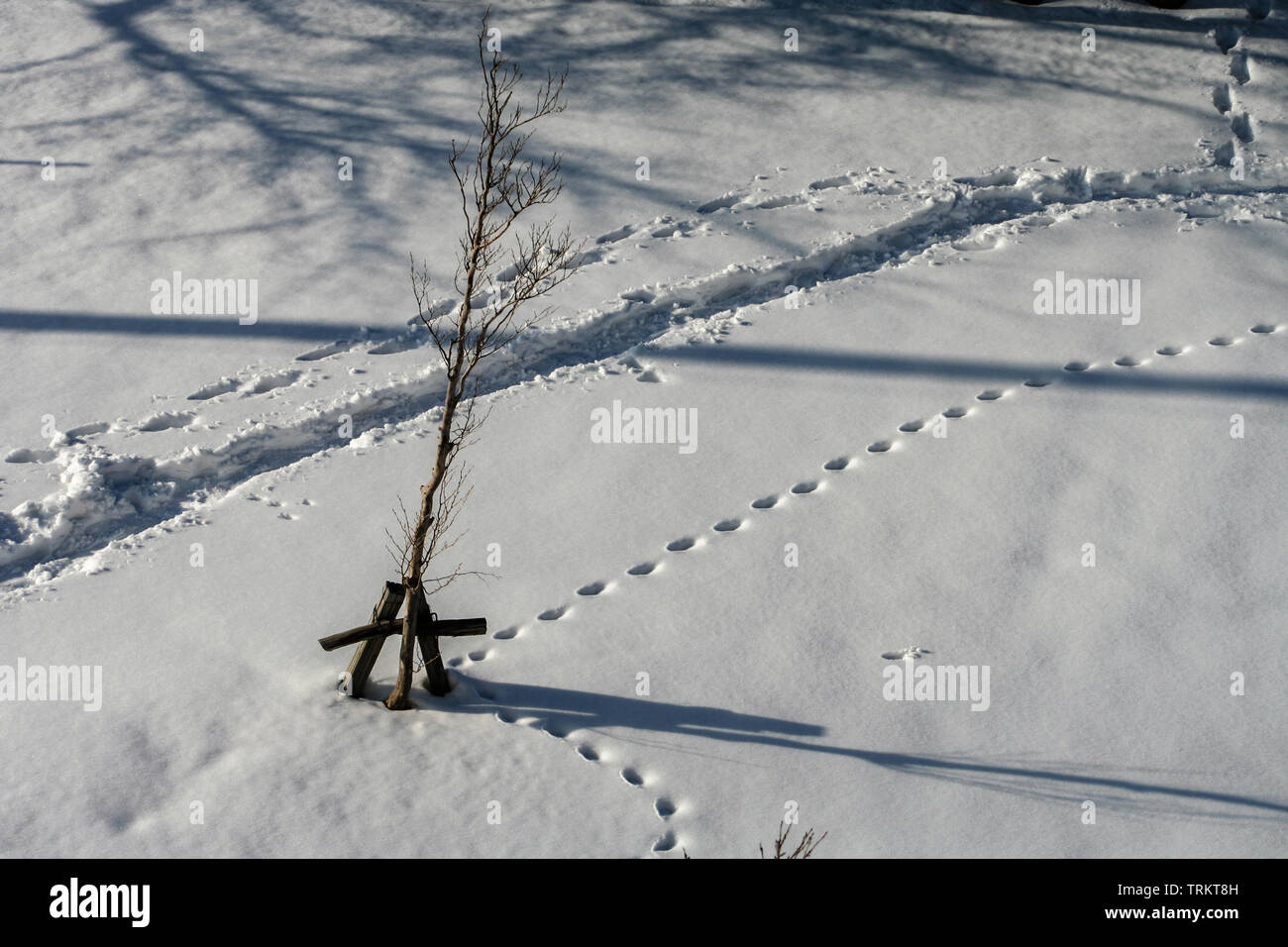 Abstract shot of small tree in winter snow, with animal tracks, footprints, cycle furrow, and shadows. Kanazawa, Ishikawa Prefecture, Western Japan. - Stock Image