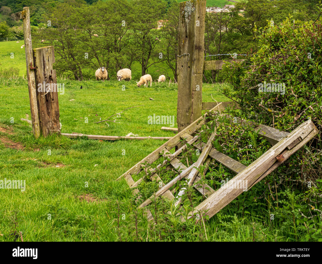 Sheep grazing by fallen down gate near Dalby, North Yorks - Stock Image