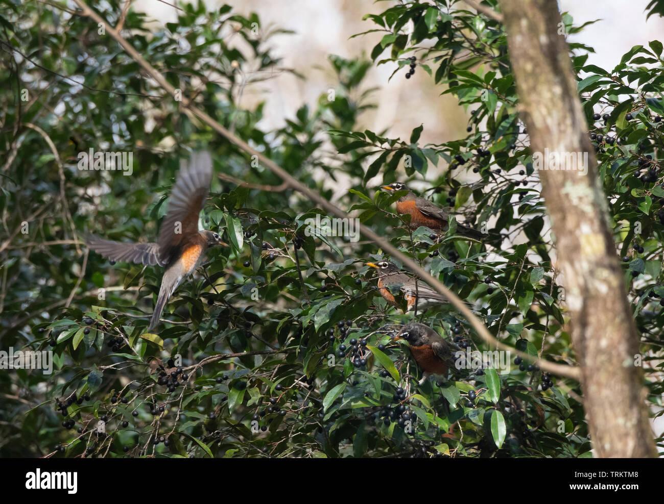 Flock of migrating Robin birds feeding on laurel cherry berries - Stock Image
