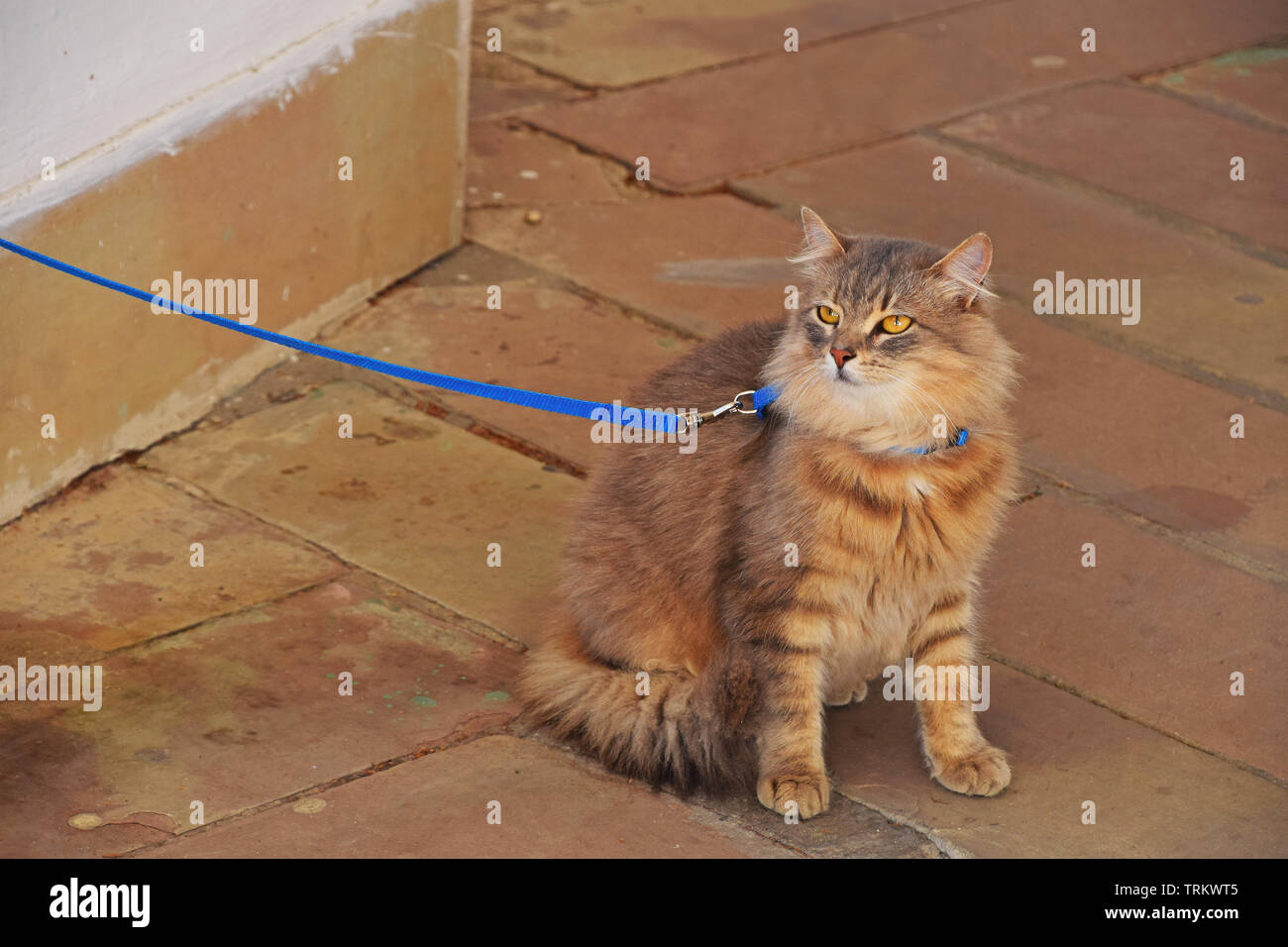 Cat On Lead Stock Photos & Cat On Lead Stock Images - Alamy