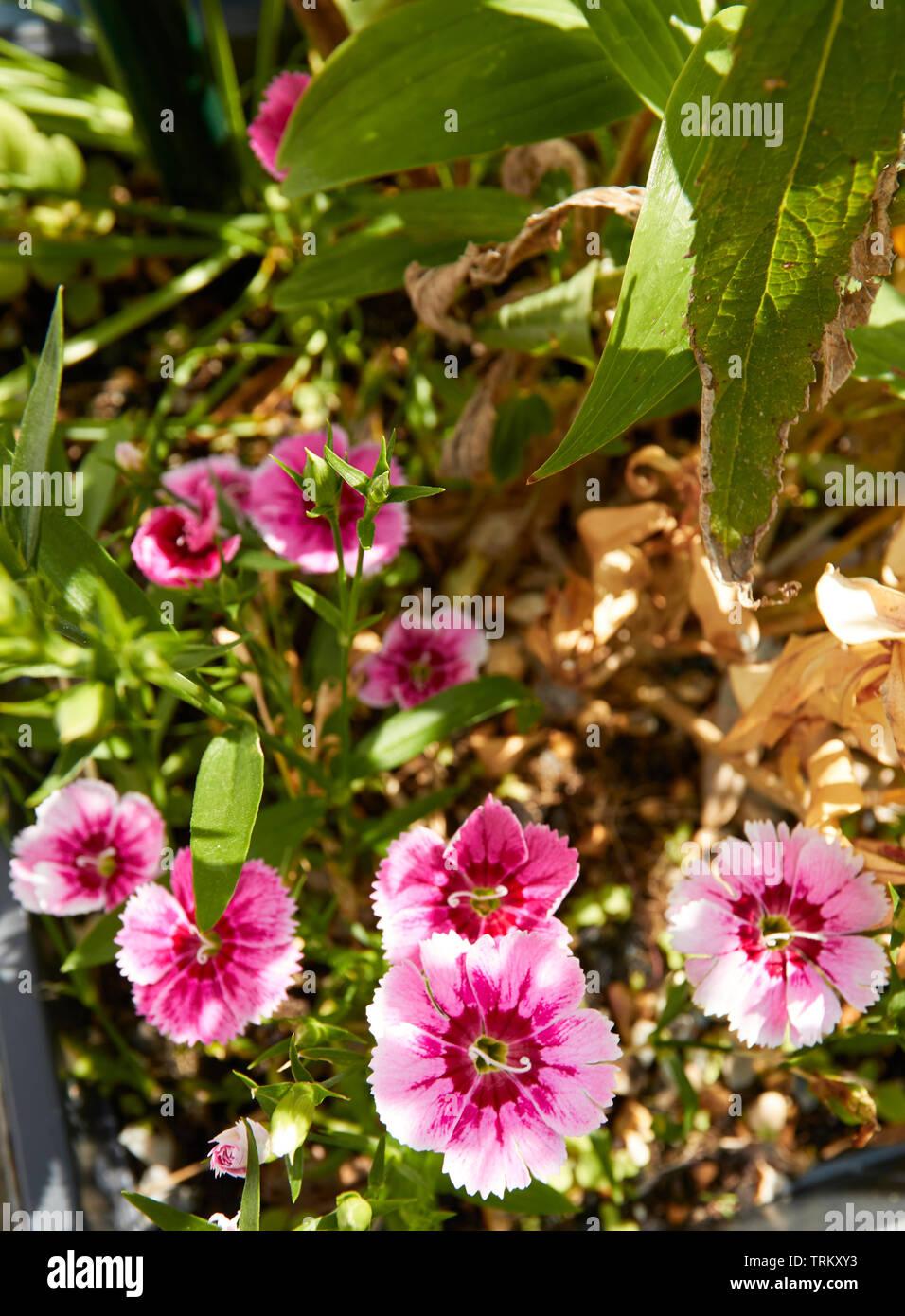 Pinks, Dianthus, in flower nature flower portrait in a London garden - Stock Image