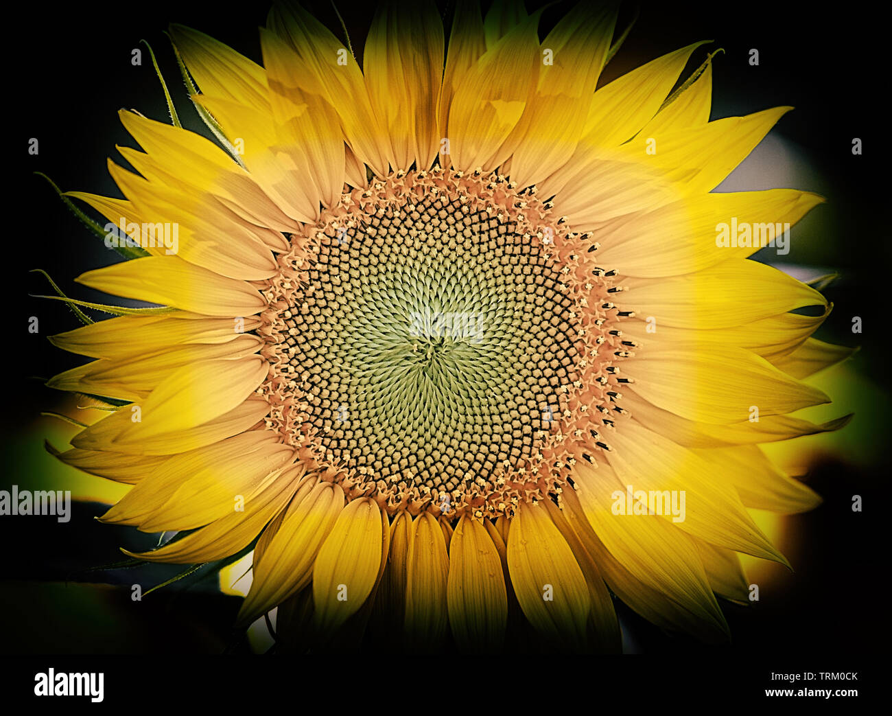 sunflower in the dark III Stock Photo