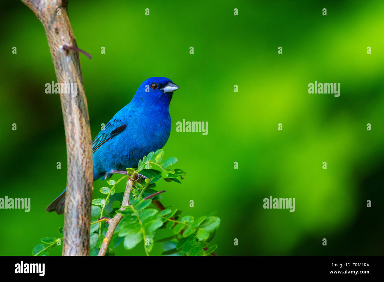 An Indigo bunting poses on the branch of a sapling honeylocust. Stock Photo