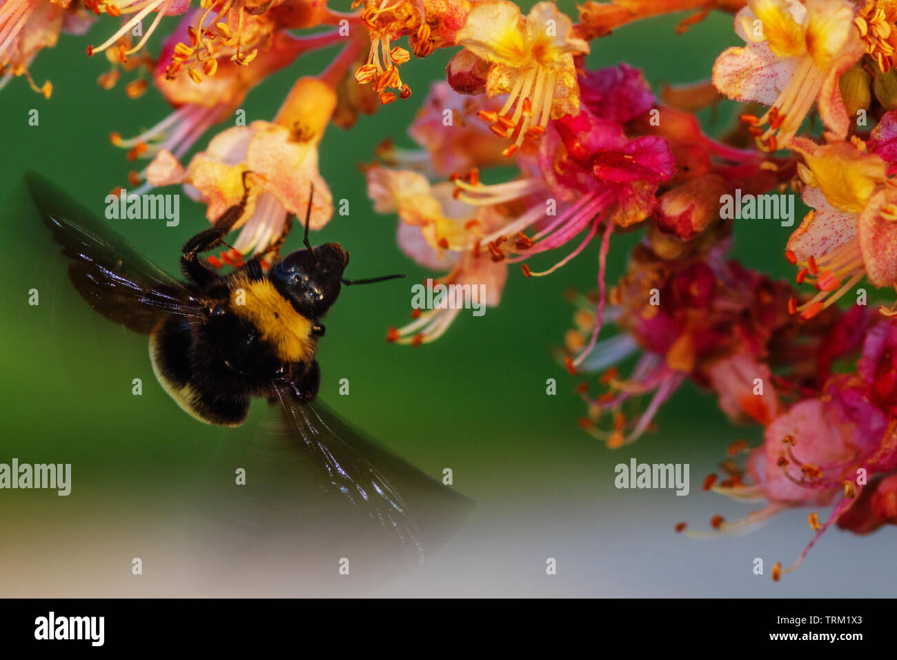 A carpenter bee visits the flowers of a 'briotii' red horsechestnut - Stock Image
