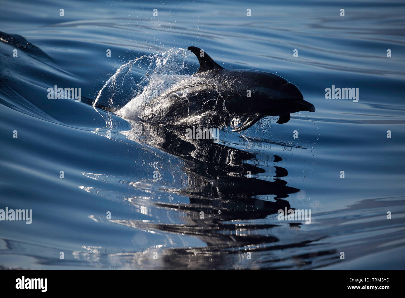 A Pacific spotted dolphin, Stenella attenuata, leaps out of a wave face in the early morning, Hawaii. - Stock Image