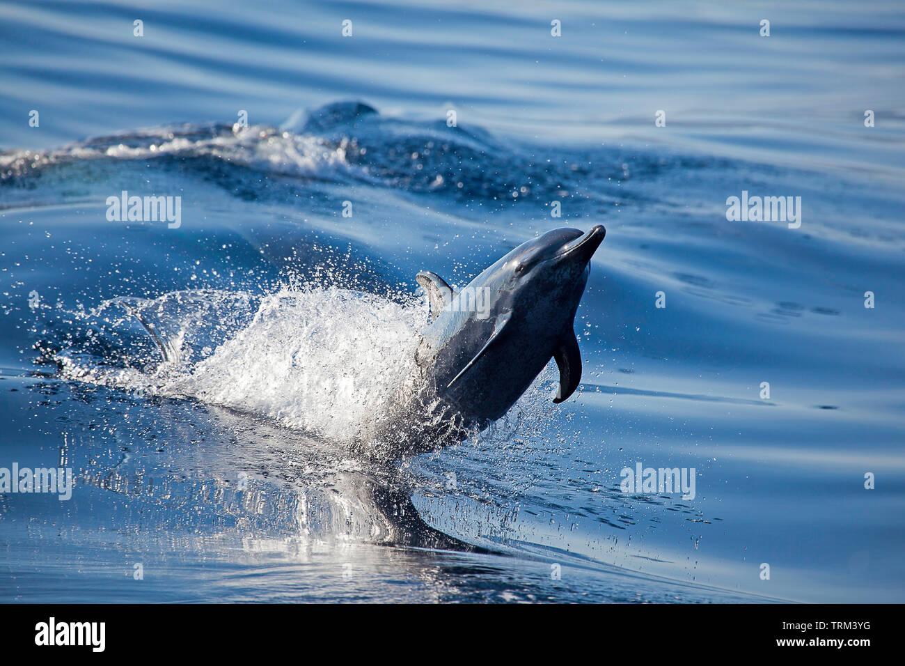 Pacific spotted dolphin, Stenella attenuata, Hawaii. - Stock Image