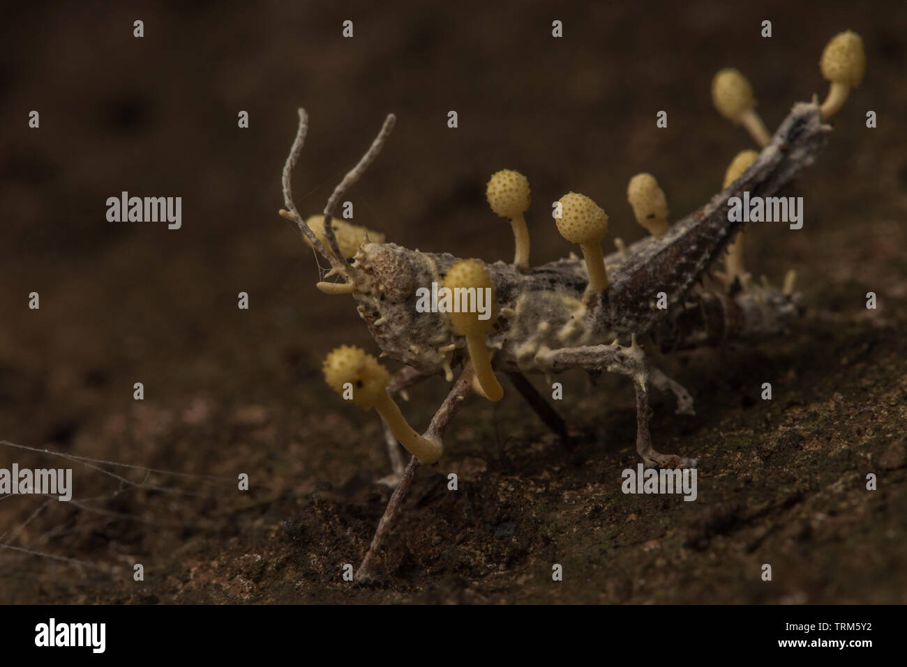 A grasshopper which has been killed by an entomopathogenic fungus, also known as cordyceps, in the Amazon jungle. - Stock Image