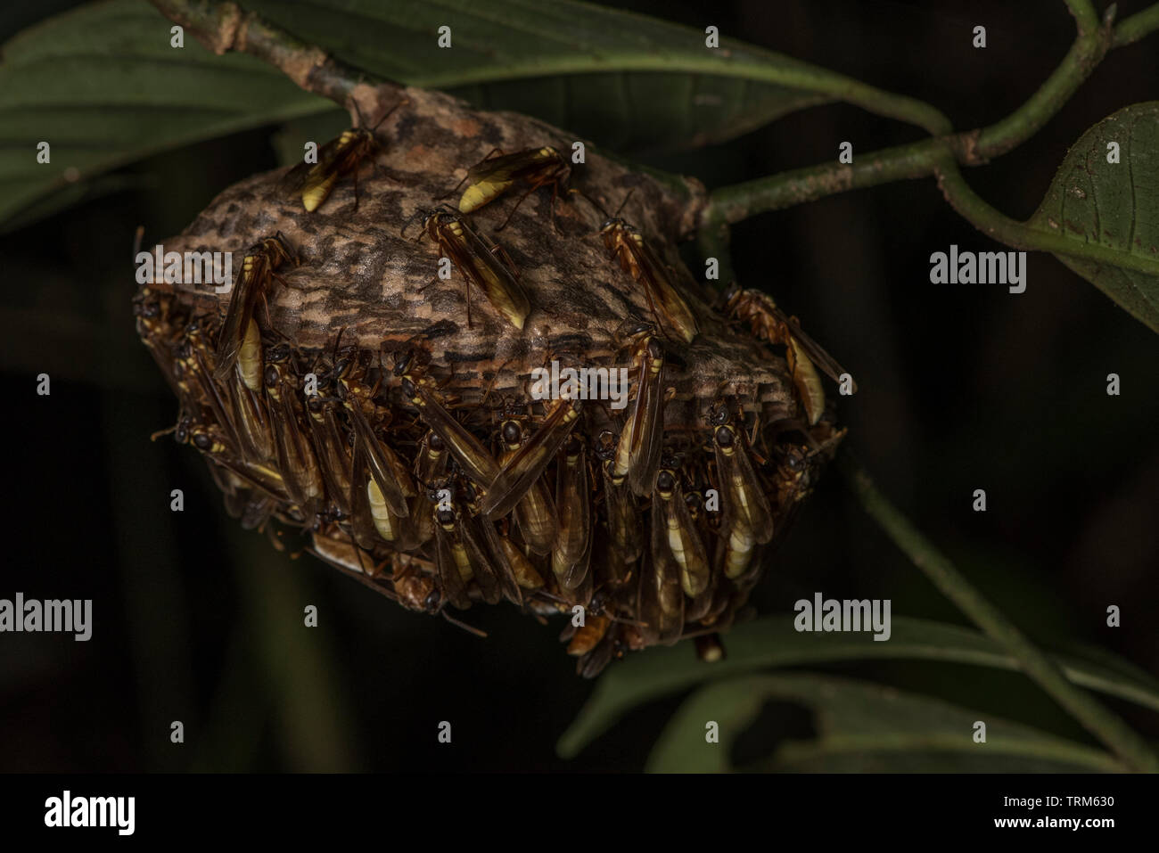 A wasp nest from Yasuni National Park in Ecuador. - Stock Image
