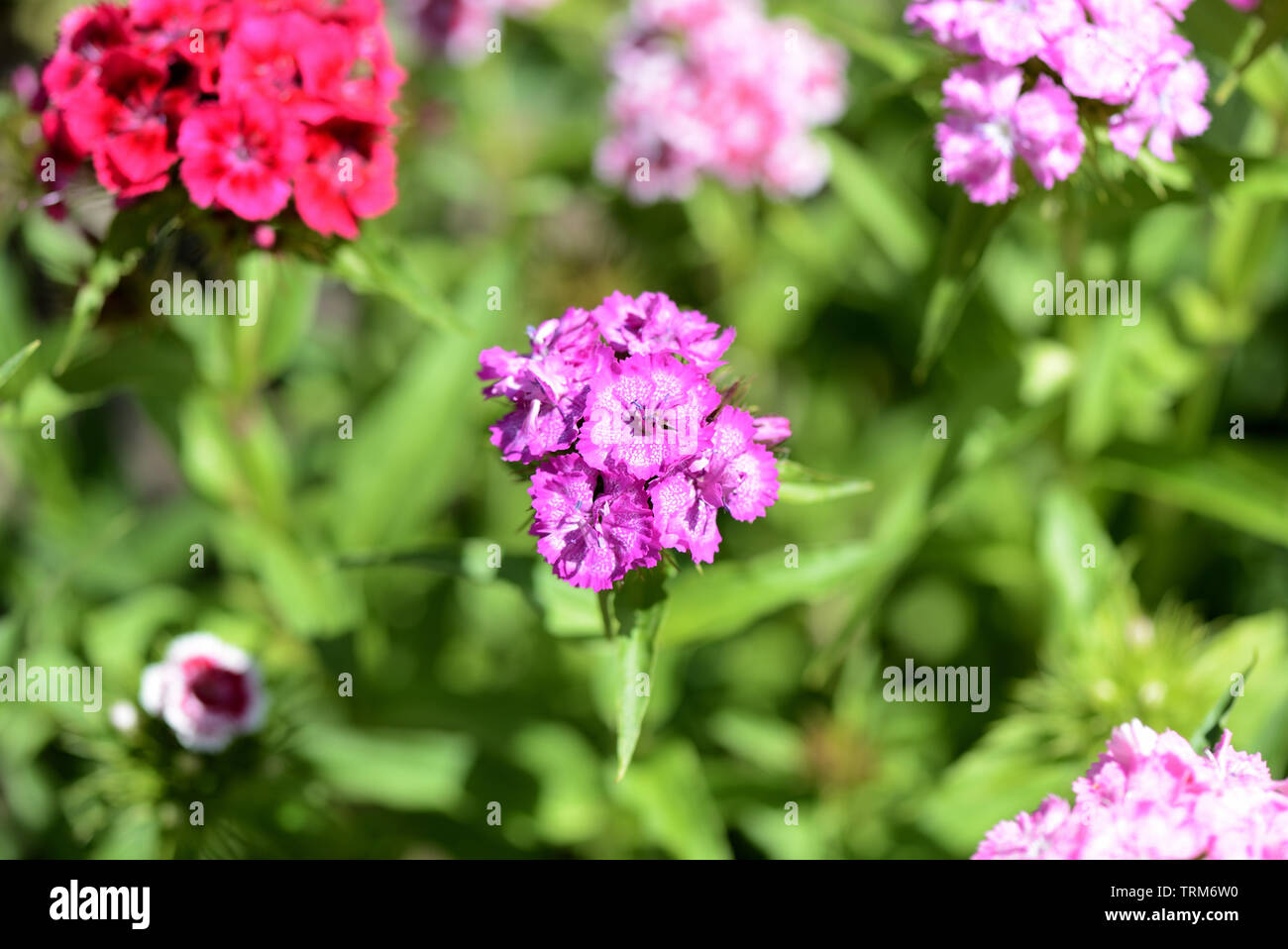 Sweet william flowers (Dianthus barbatus) in the summer garden close up - Stock Image