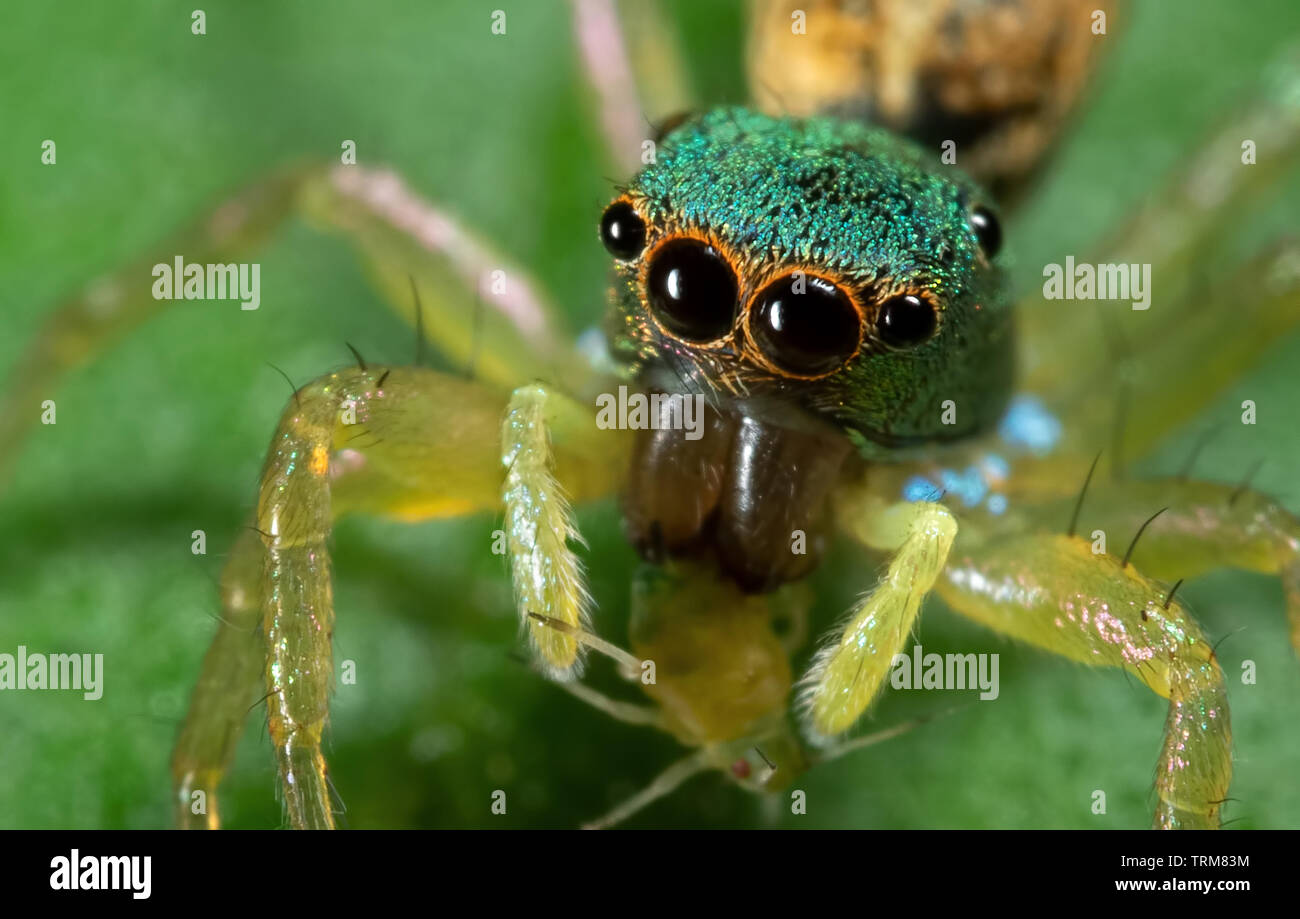Macro Photography of Colorful Jumping Spider with Prey on Green Leaf - Stock Image