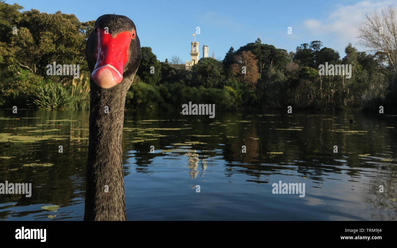 Melbourne scenes. A swan's eye view at the Botanical Gardens in Melbourne Australia. - Stock Image