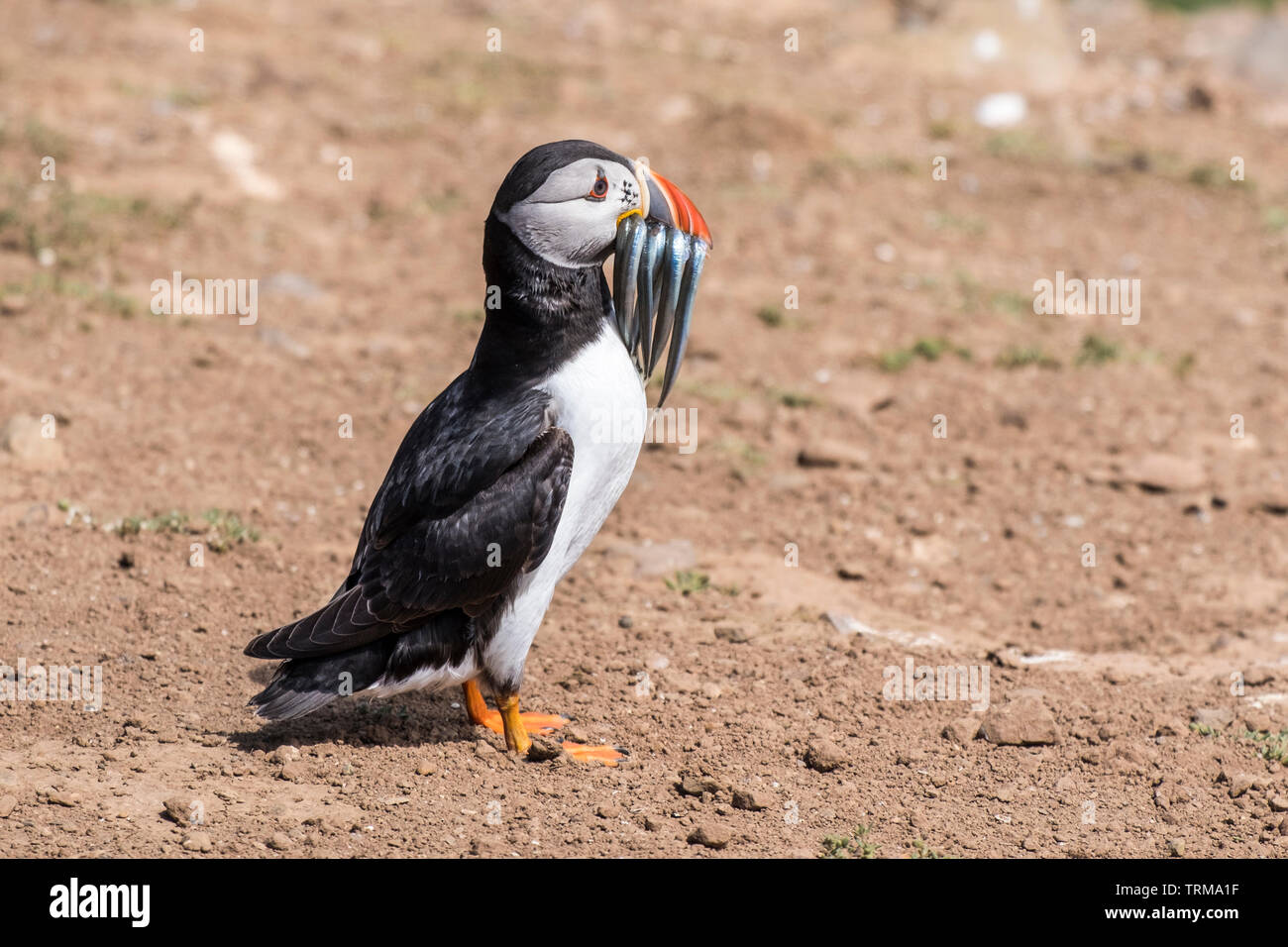 Atlantic Puffin, Fratercula arctica, with Sand Eels on Skomer Island, Pembrokeshire, Wales. Stock Photo