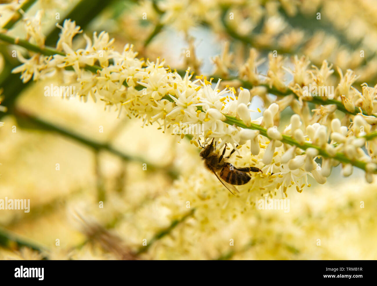 A hover fly feasts on the nectar and pollen from the panicle flowers of cordyline australis, in a Devon garden. - Stock Image