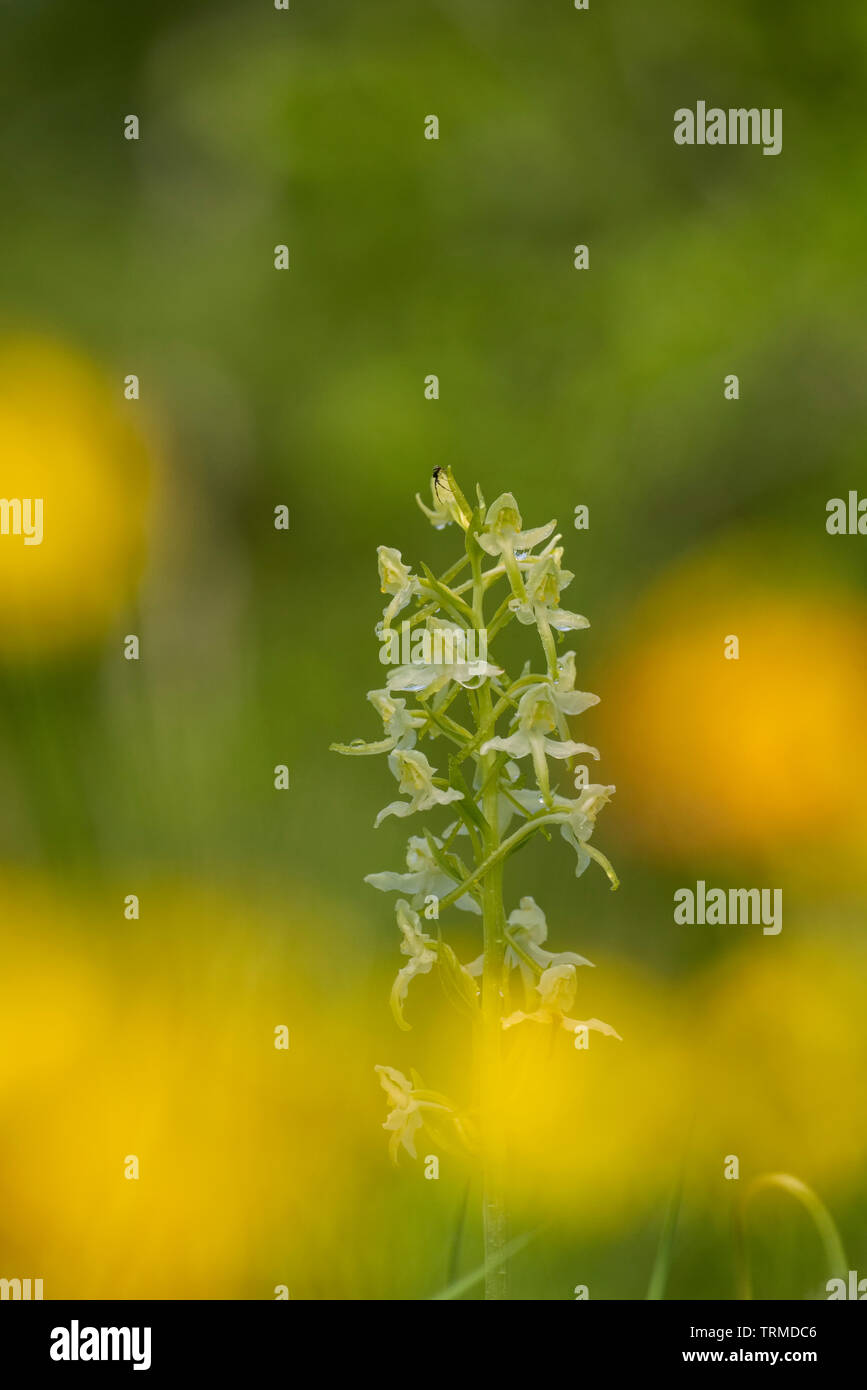Greater butterfly orchid; Platanthera chlorantha, early summer in an Oxfordshire meadow - Stock Image