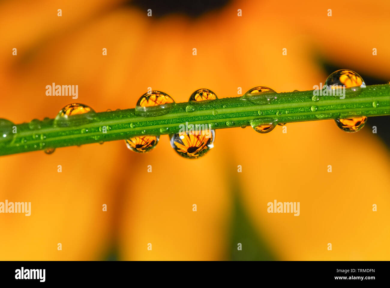 Close up of water drops after rain with reflections of yellow orange colored coneflower blooms in a summery garden - Stock Image